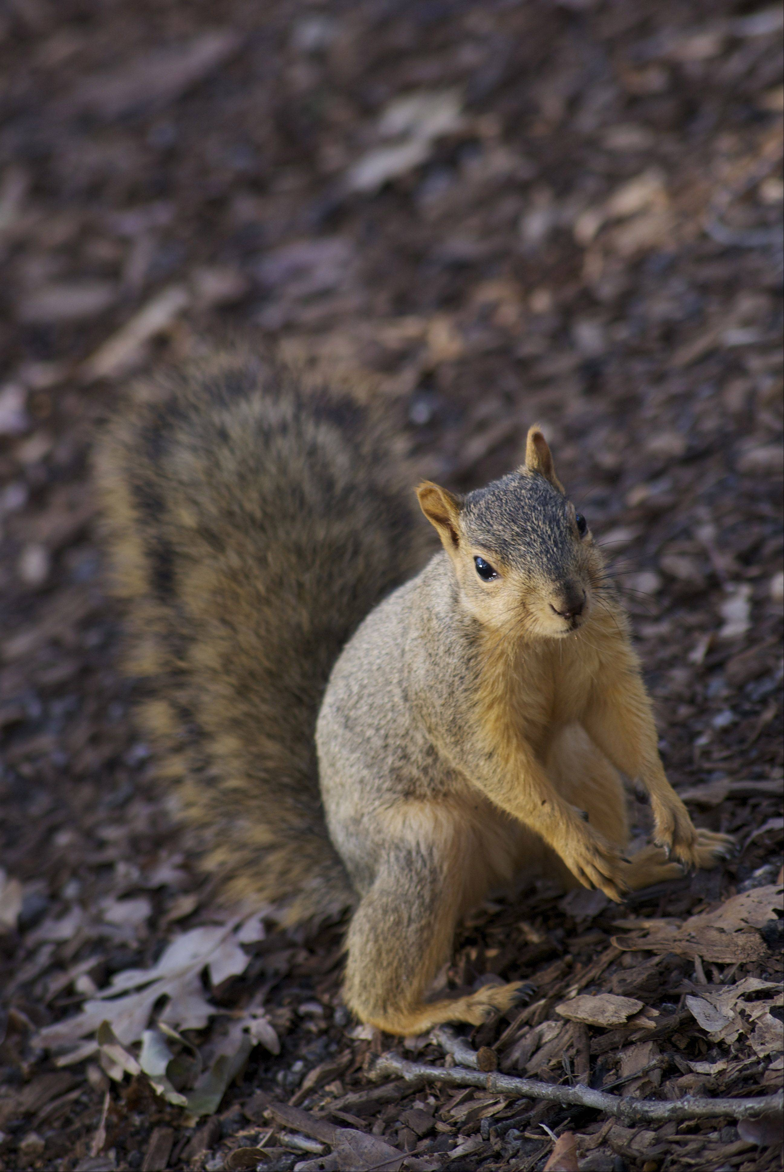 A squirrel searches for food at the Morton Arboretum in Lisle recently.