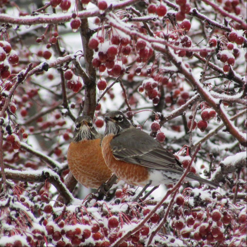 Two robins sitting in a crabapple tree in a Schaumburg yard on December 22nd.