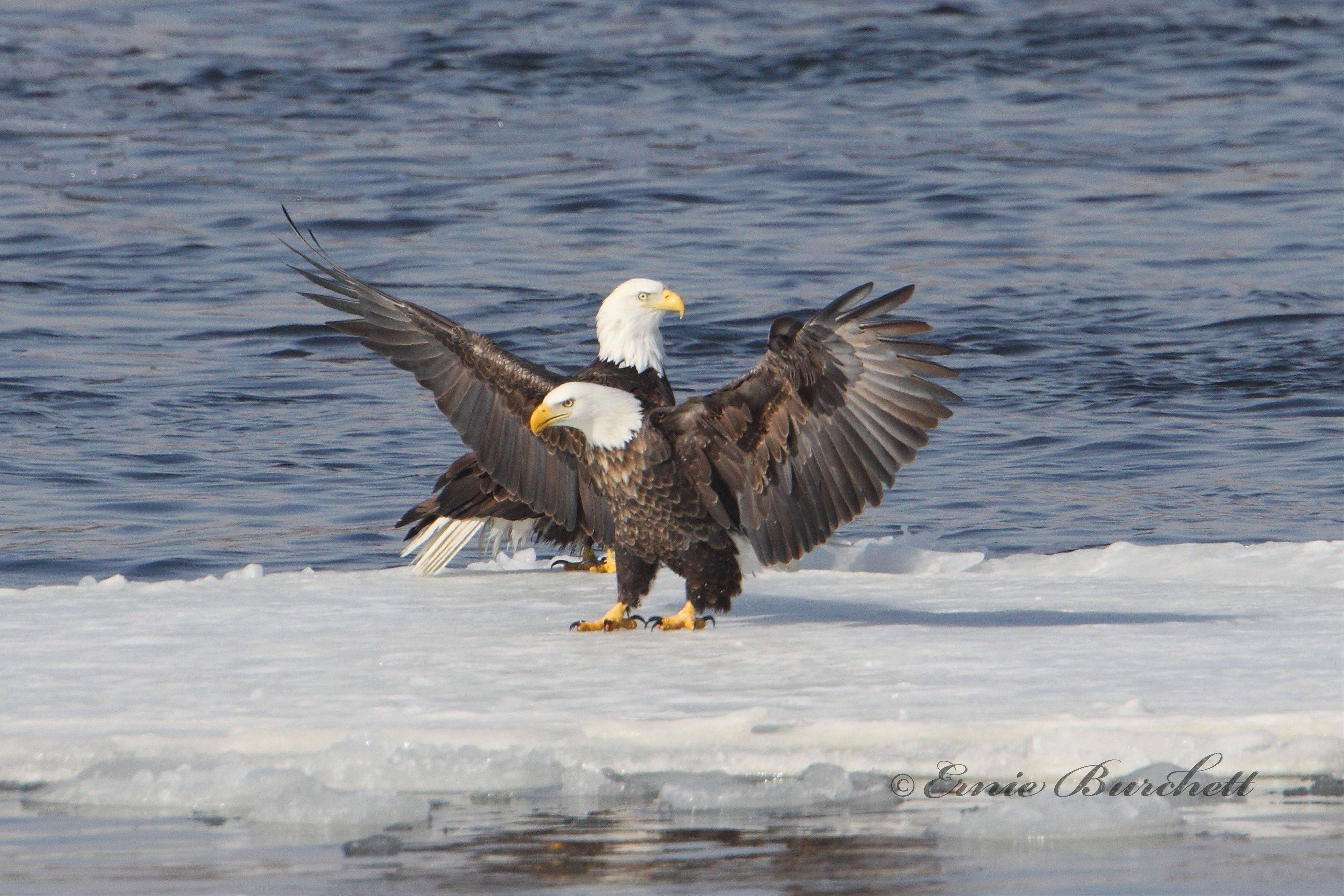 The eagles have landed along the Mississippi River and you can see them during Bald Eagle Days at the Quad Cities Expo Center, Friday through Sunday, Jan. 10-12.
