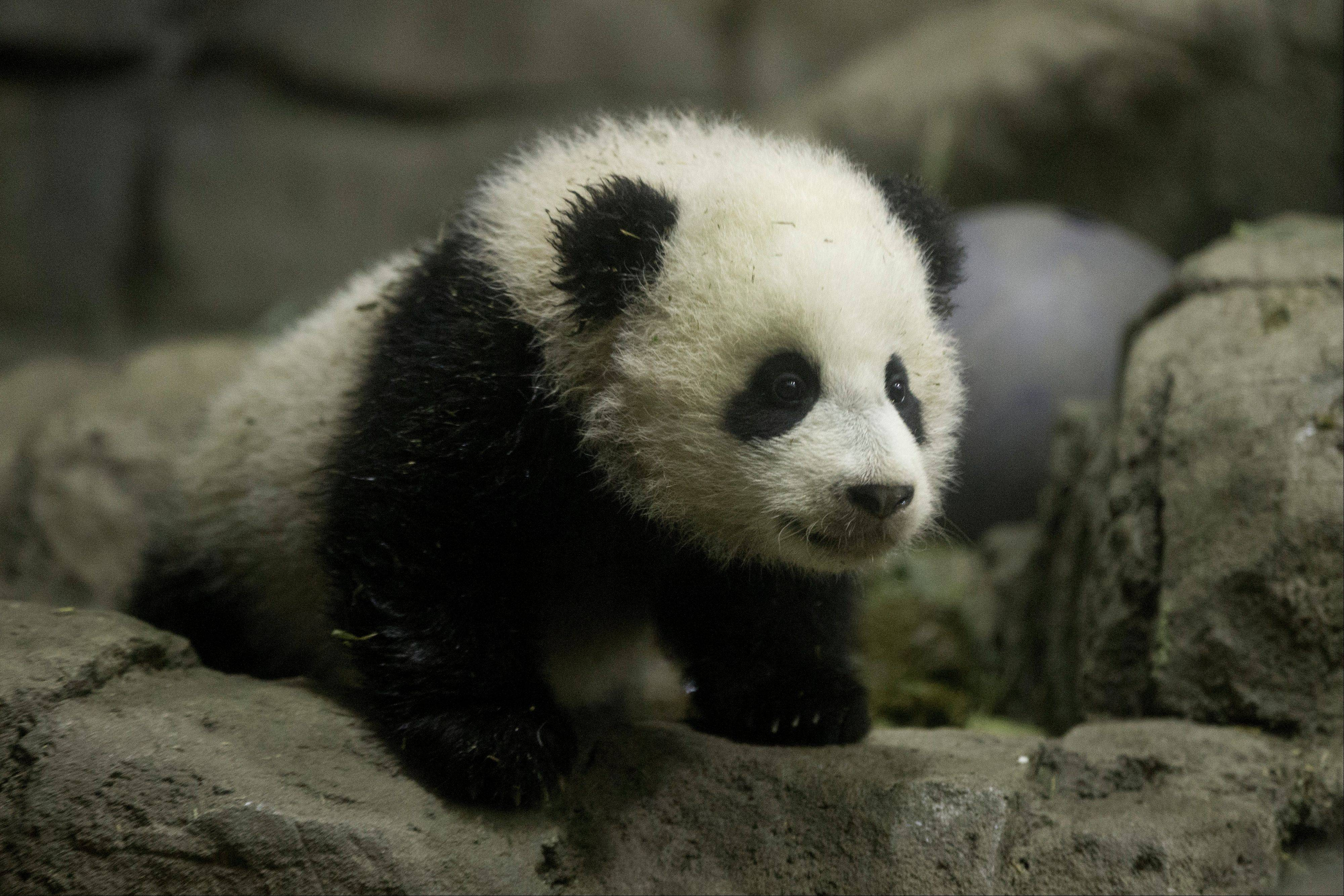 Bao Bao, the four and a half month old giant panda, makes her public debut at an indoor habitat at the National Zoo in Washington Monday. Bao Bao, who now weighs 16.9 pounds, was born to the zoo�s female giant panda Mei Xiang and male giant panda Tian Tian.