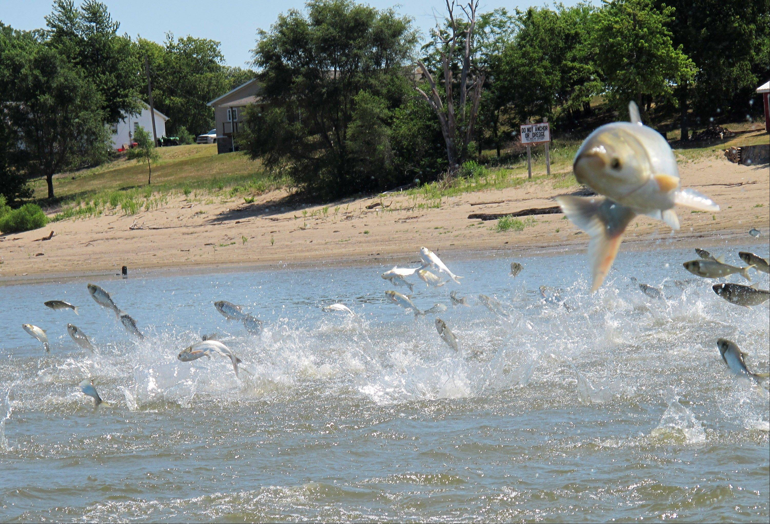 In this June 13, 2012, photo an Asian carp, jolted by an electric current from a research boat, jumps from the Illinois River near Havana, Ill., during a study on the fish's population. The U.S. Army Corps of Engineers released a report Monday years in the making, about options for keeping Asian carp from invading the Great Lakes. The report focuses on the Chicago Area Waterway System and its network of rivers and canals that provide a direct link between Lake Michigan and the Mississippi River.