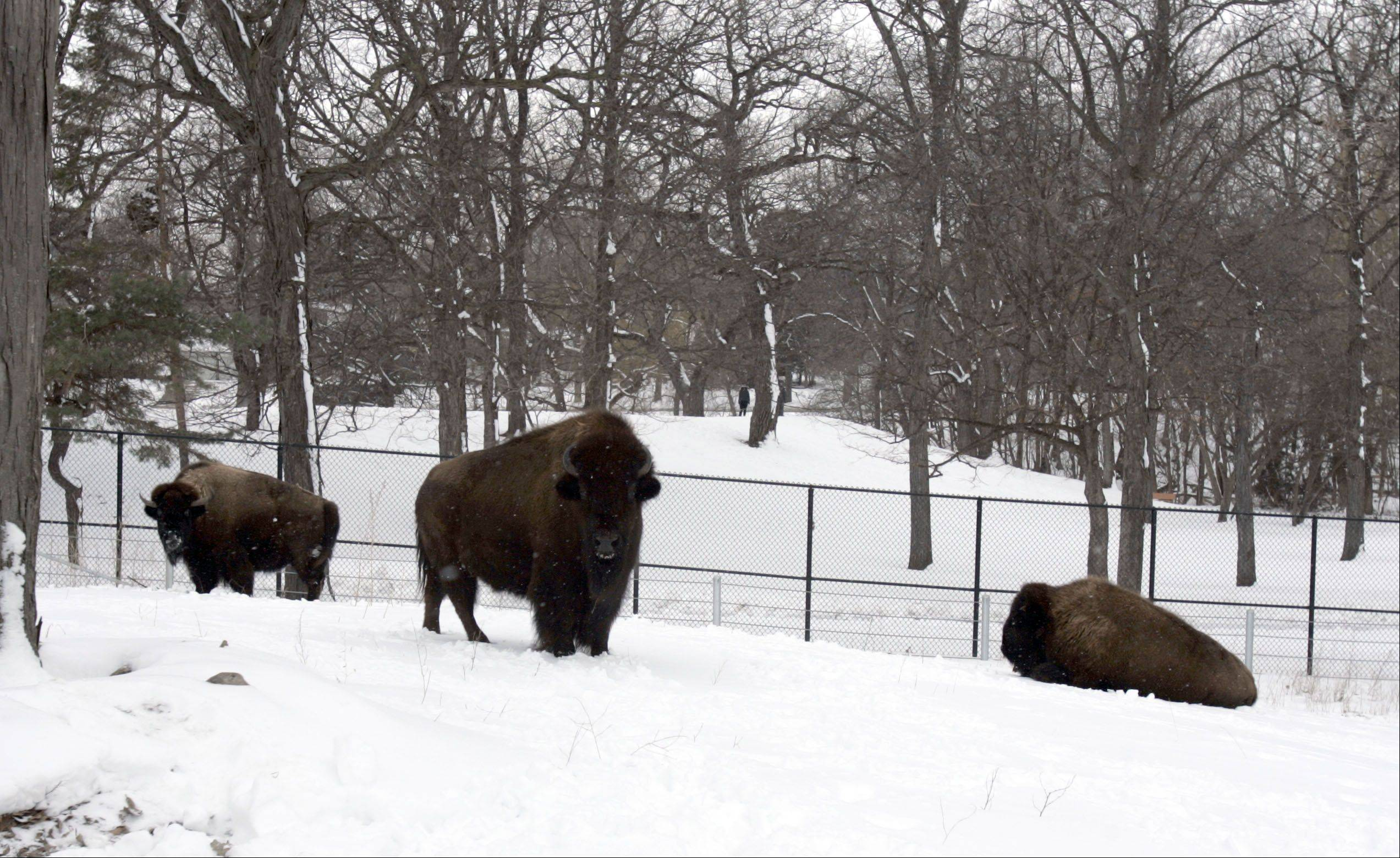 Joining Pokey, left, are two new bison, Becky in the middle and Drew on the right, which arrived at Lords Park in Elgin from Brookfield Zoo. Pokey was put down earlier this year once her health declined after she fell into a mud hole. She was 23.