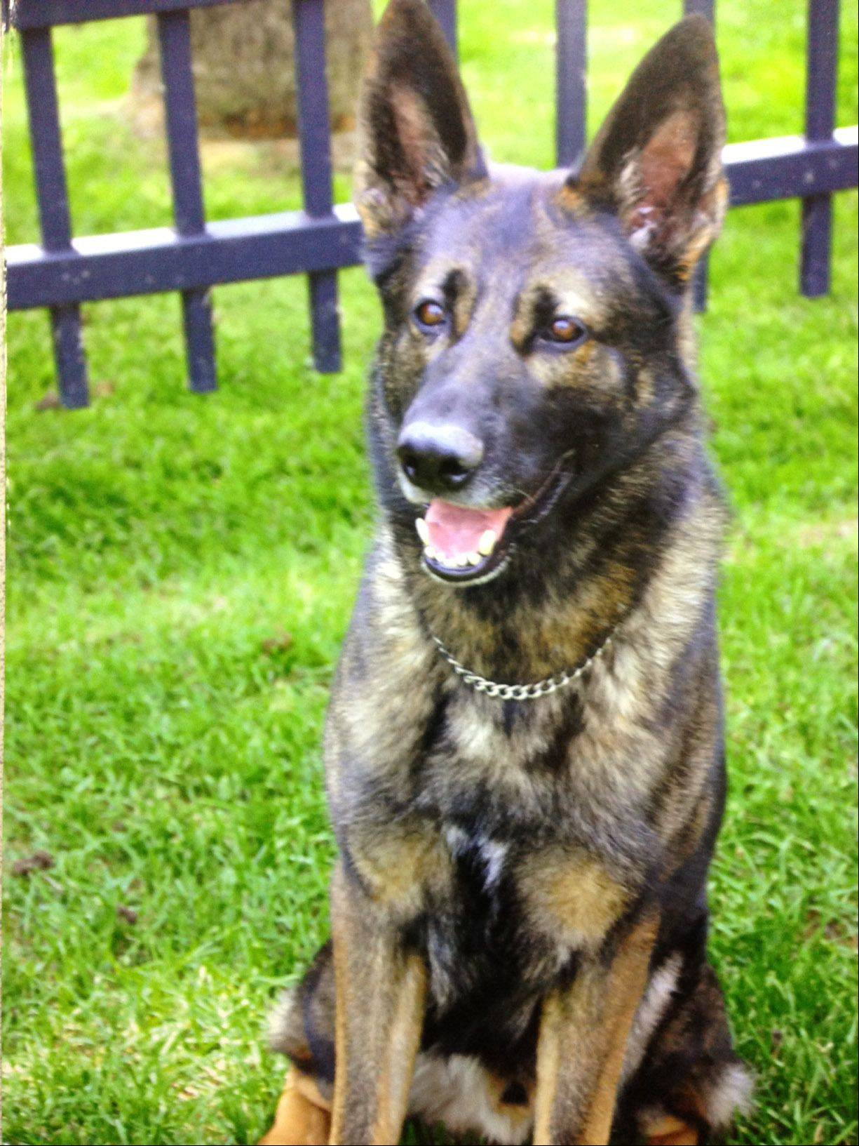 Keiser, part of the Elgin Police Department's canine unit, died of cancer while on duty in 2013. The German shepherd was 8 years old and led an honorable career with the department working patrol and narcotics details.