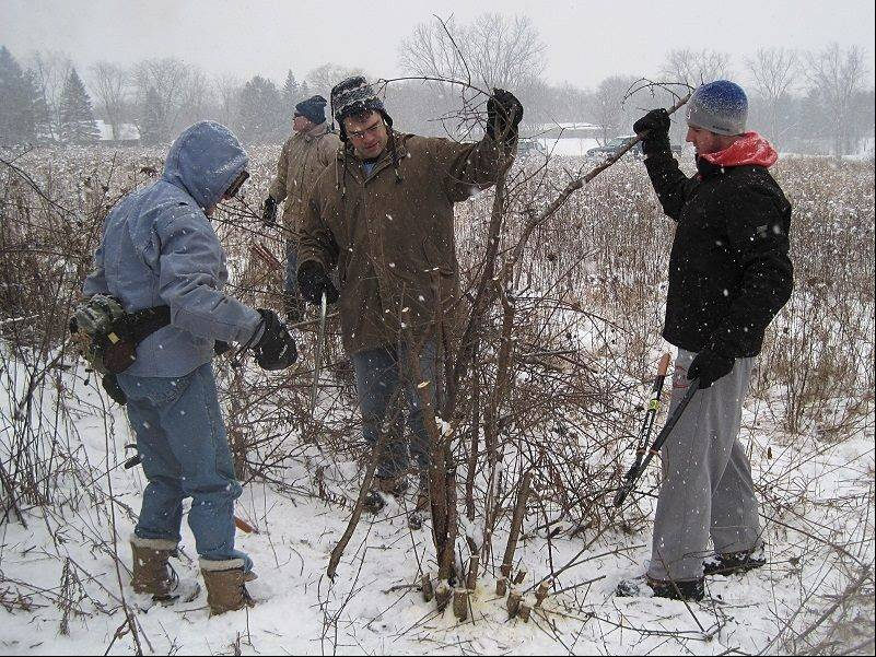 Heedless of wind and weather, new and experienced Citizens for Conservation restoration volunteers continue their regular winter schedule, rescuing native trees from buckthorn and other invasives.