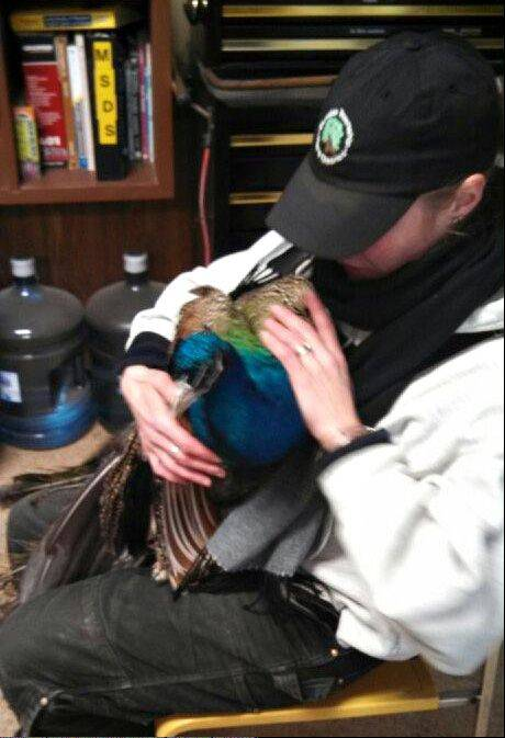 Kristin Wuestenfeld, an employee at the Randall Oaks Barnyard Zoo in West Dundee, cradles Blue the peacock Tuesday, shortly after she rescued him from the top of a nearby tree, with the help of the West Dundee Fire Department. Blue later died from injuries he sustained in the frigid air.