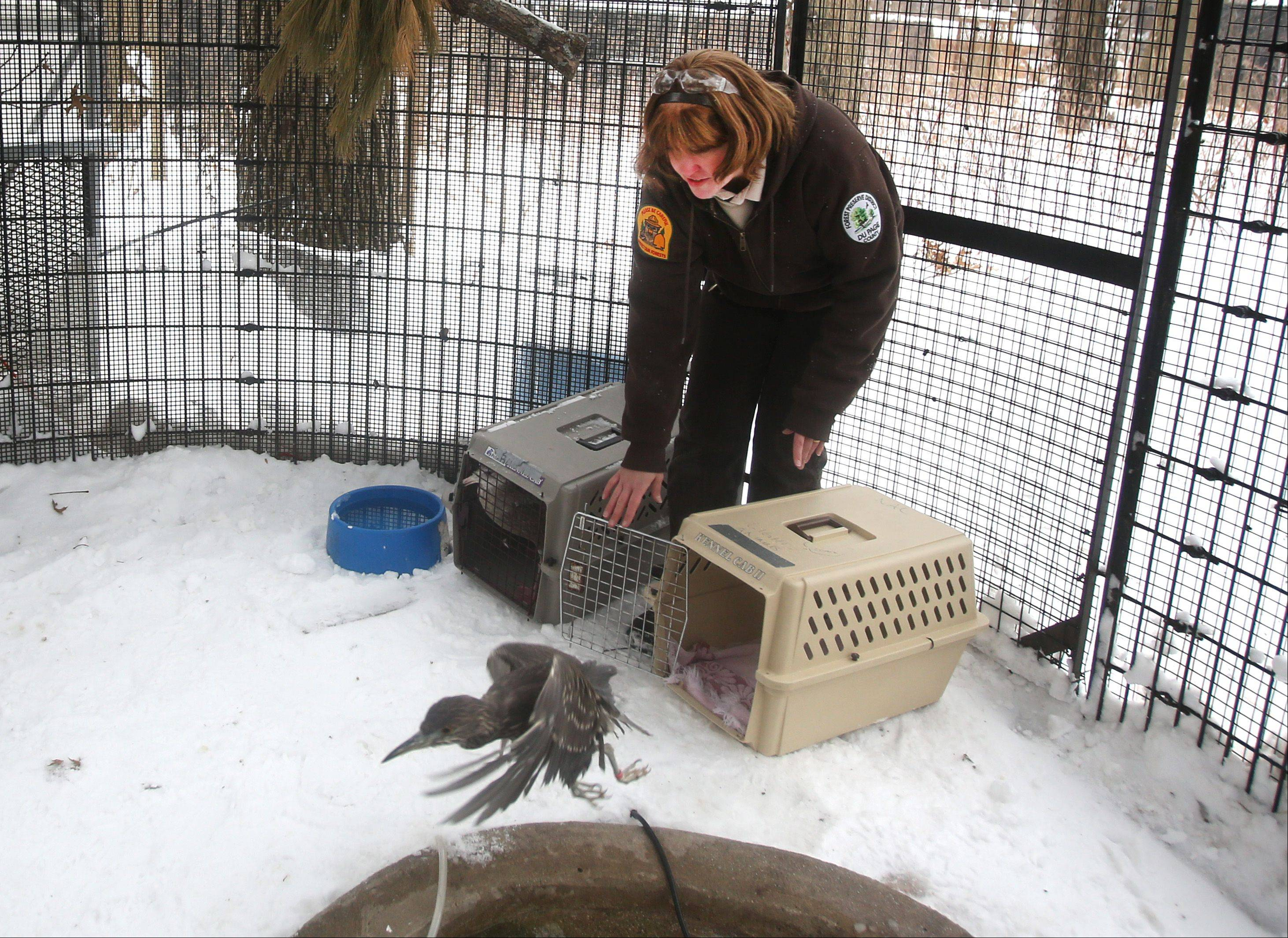 Rose Augustine, wildlife specialist at the Willowbrook Wildlife Center in Glen Ellyn, releases a black-crowned night heron. Staff members returned several birds to their enclosures Thursday after bringing them inside to protect them from this week�s bitterly cold temperatures.