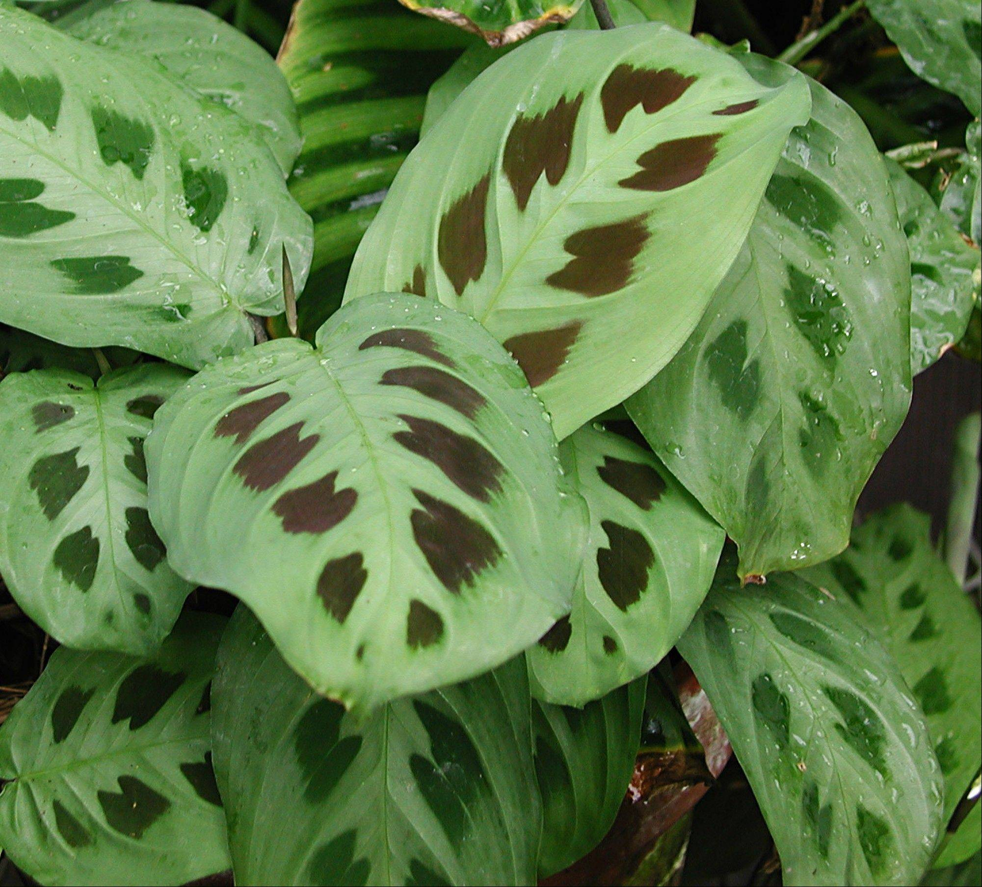 "A prayer plant (Maranta leuconeura) is a houseplant that tolerates low light levels and ""prays"" by folding up its leaves each evening."