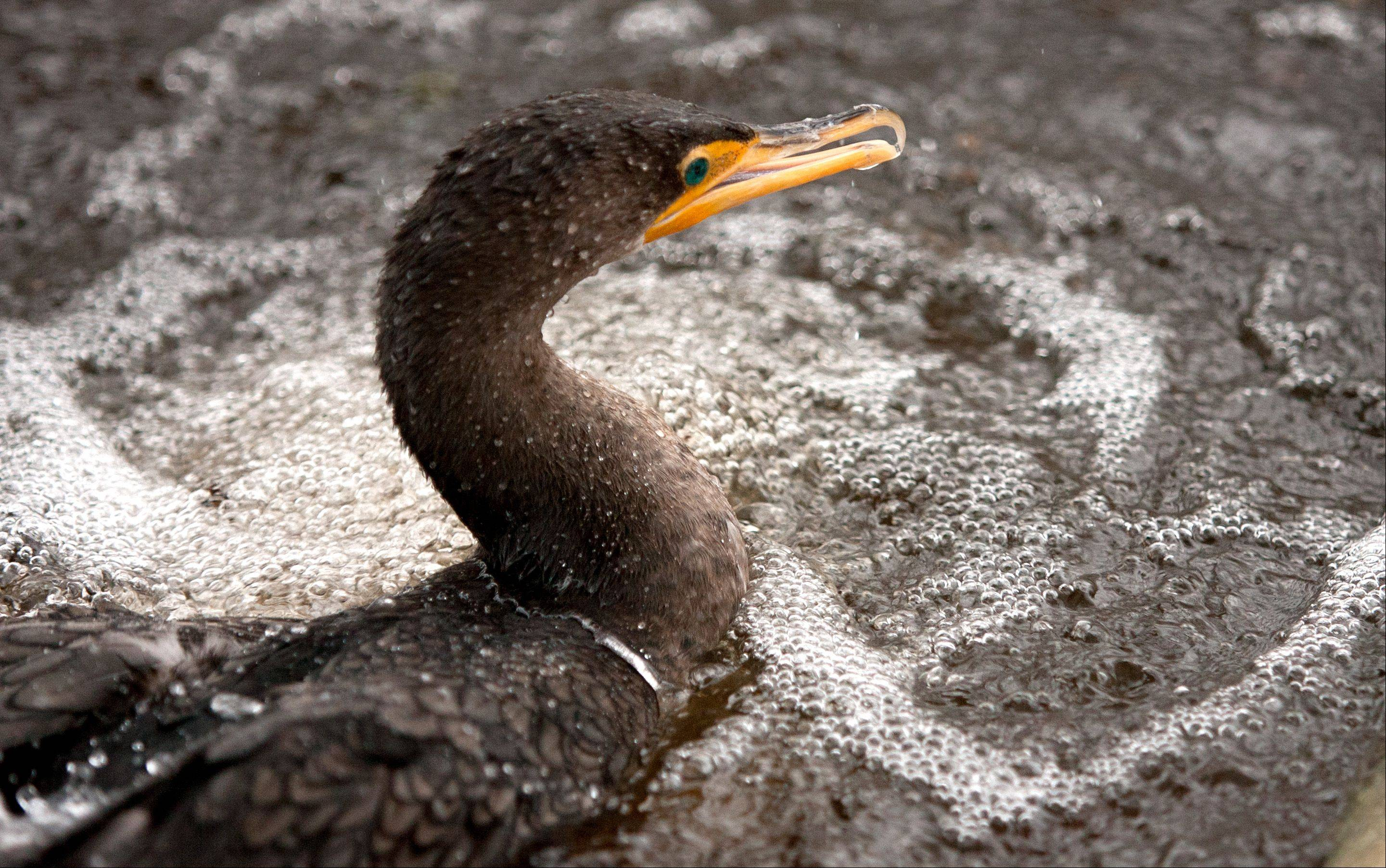 A double-crested cormorant is back in its cage Thursday at Willowbrook Wildlife Center in Glen Ellyn.