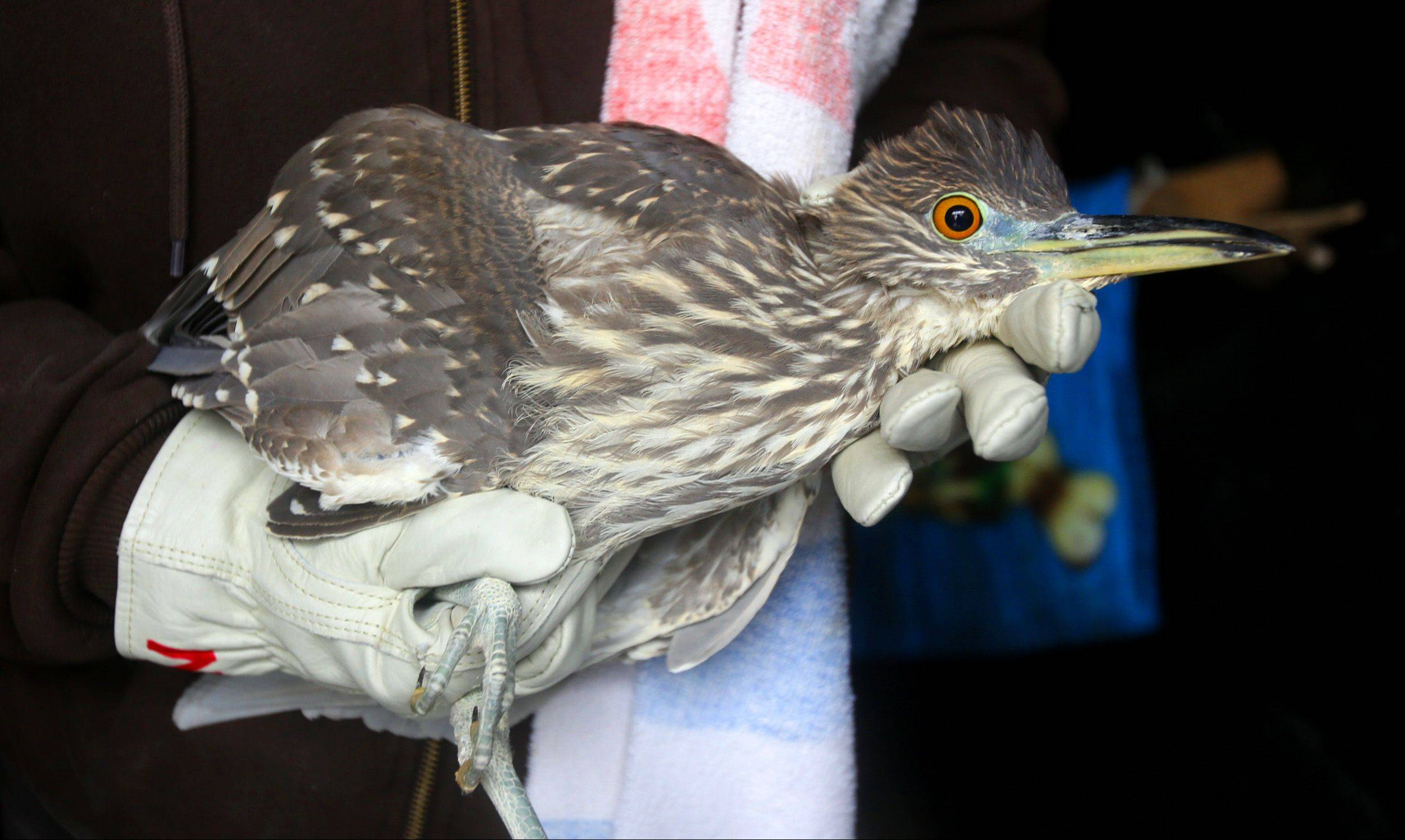 A black-crowned night heron was returned to its enclosure Thursday at Willowbrook Wildlife Center after being brought indoors to protect it from this week's extreme cold.
