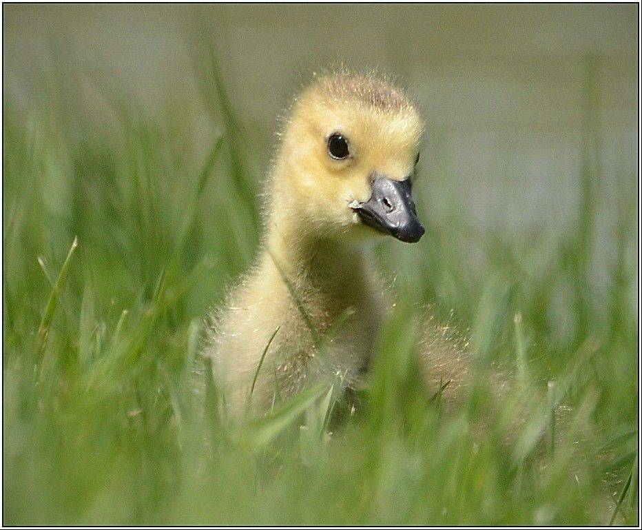 "DPI (Digital Image) of the Month, December, was awarded to Sue Lindell for ""Curious Gosling."""