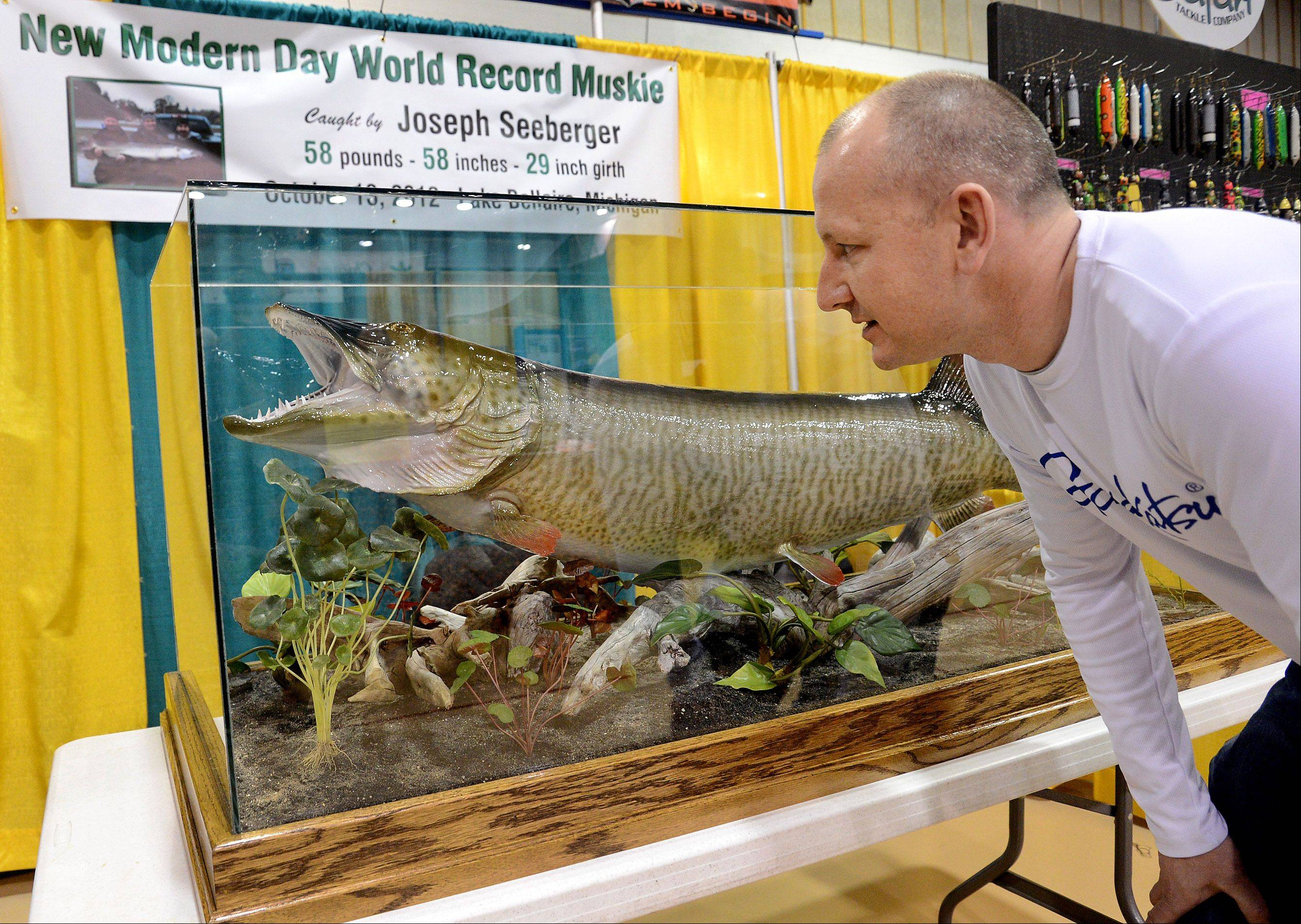 Joseph Seeberger of Portage, Mich., peers at his modern-day world record muskie, caught in 2012 with a live minnow and an 8-lb. test line. His muskie, which he caught while fishing for bass in Lake Bellaire, Mich., is on display at the Chicago Muskie Show at Harper College.