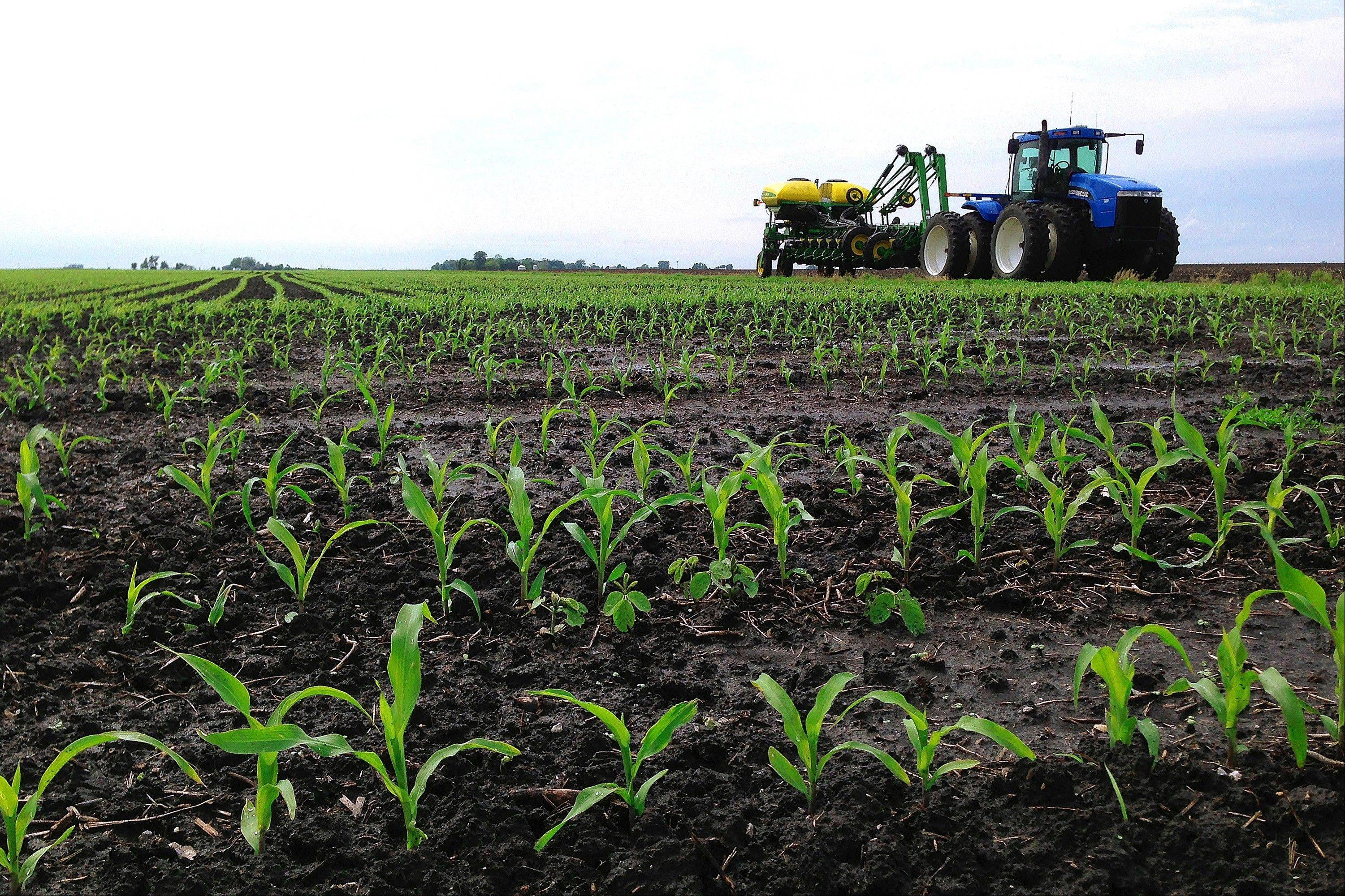 Recently planted corn grows is seen on a central Illinois farm field last May near Chandlerville, Ill.