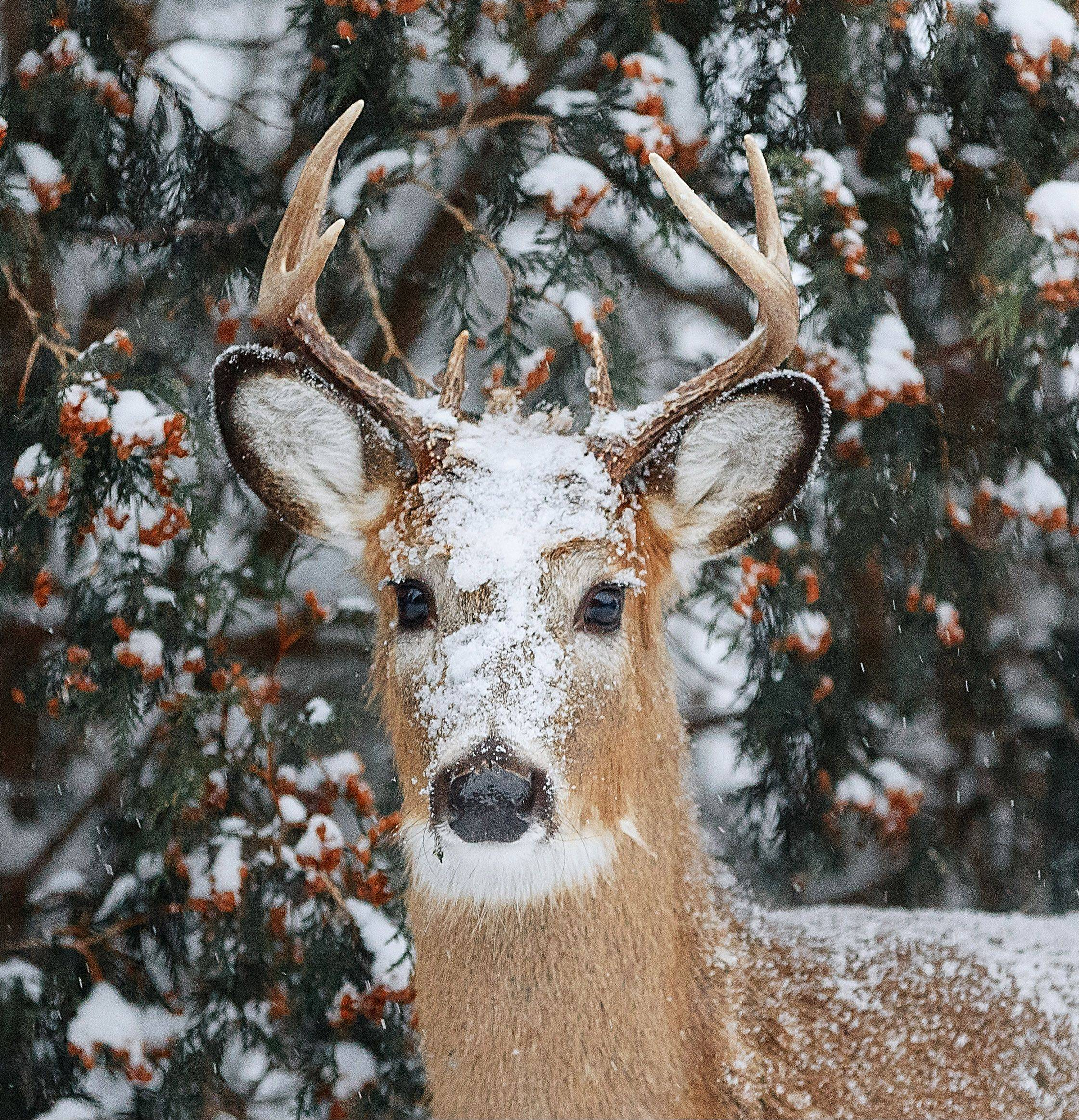 A buck stands covered in snow in an Ingleside backyard on January 1st.
