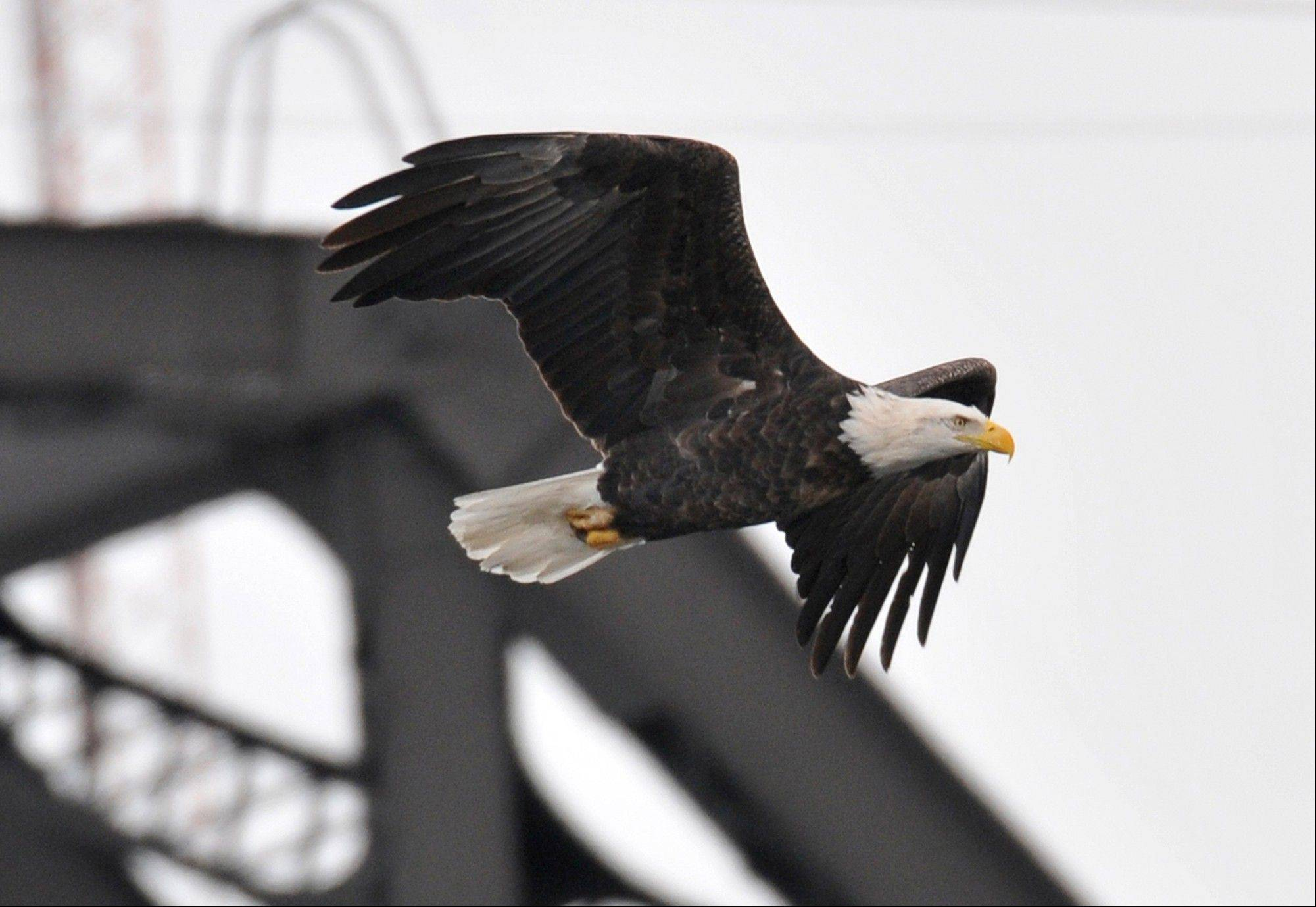 A bald eagle flies past the Arsenal Bridge while hunting fish earlier this week on the Mississippi River downstream of Lock and Dam 15 near Rock Island, Ill.