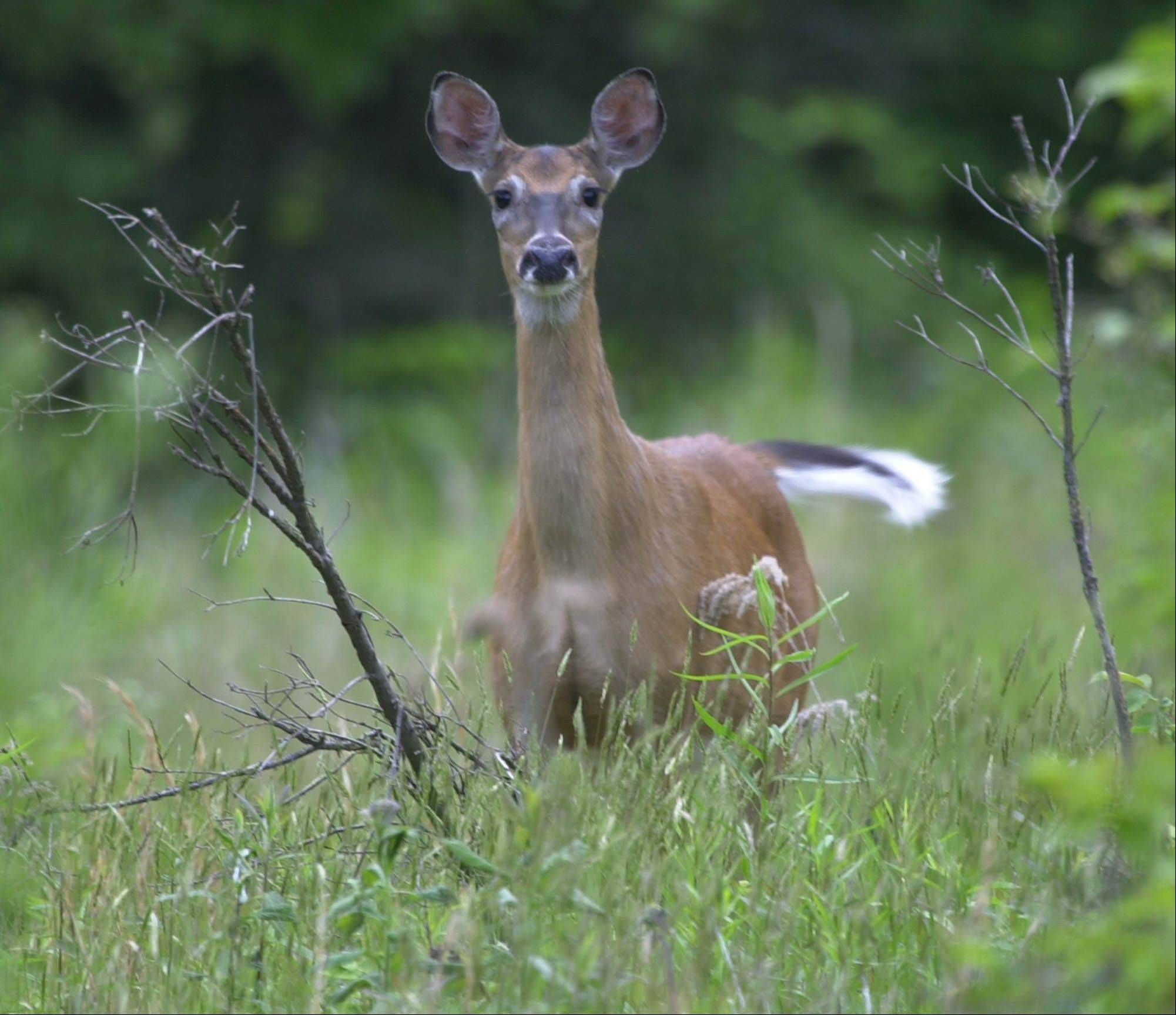 A White tailed deer flicks its tail as it stands alert while grazing in a field in Zelienople, Pa. The sprawling Eastern Band of Cherokee Indian reservation in the western part of North Carolina is trying to bring back the White-tailed deer, a cultural symbol.