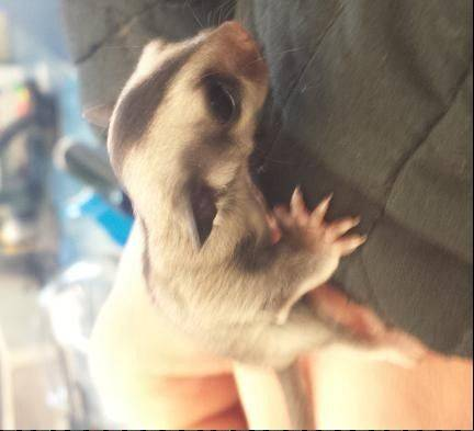 A baby sugar glider was stolen last week from Critters Pet Shop in South Elgin.