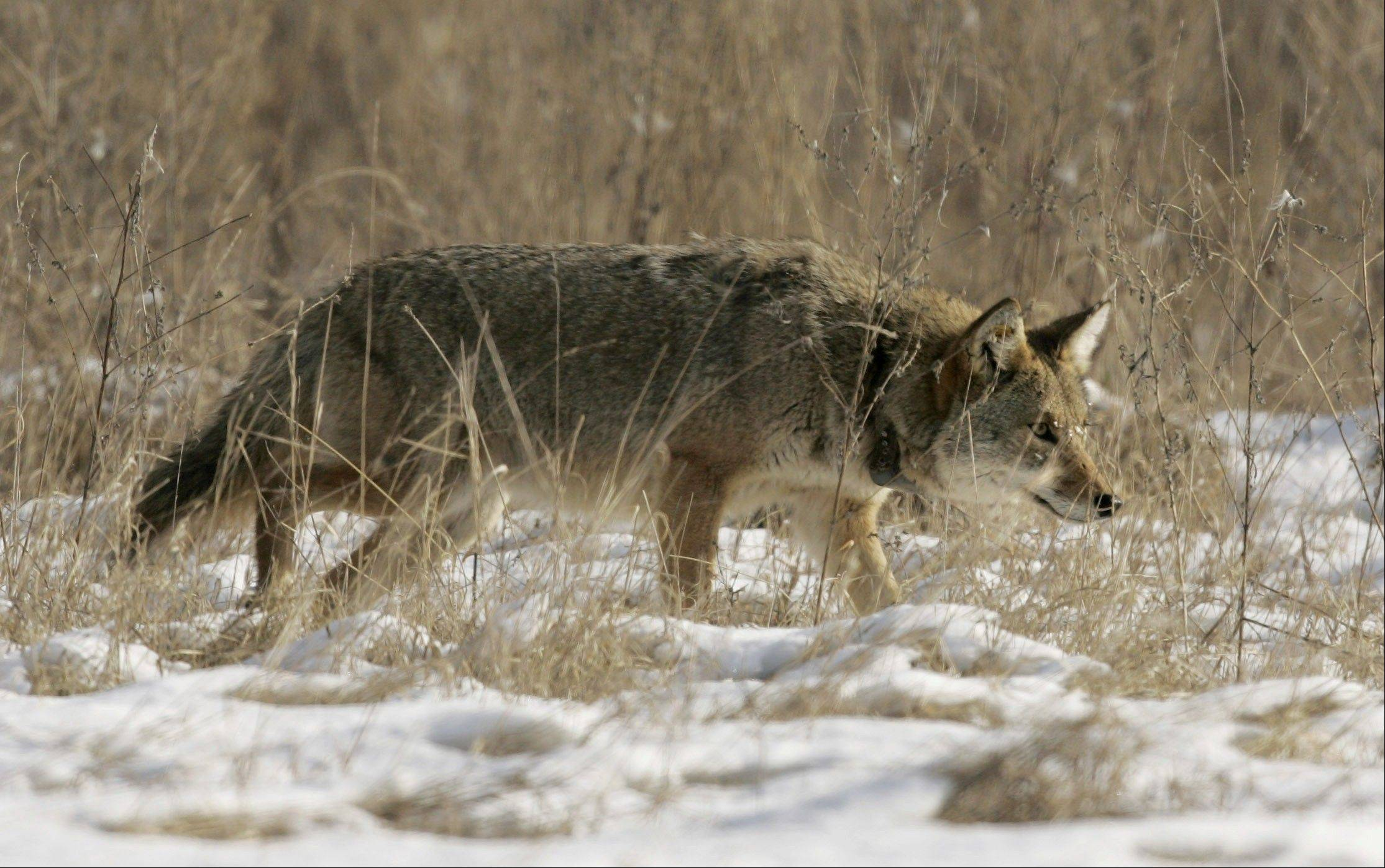 A coyote prowls a snow-covered field in the suburbs.