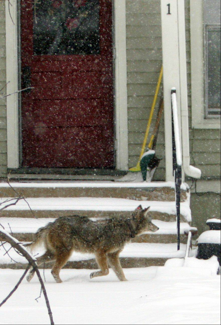 A coyote travels along a suburban street.