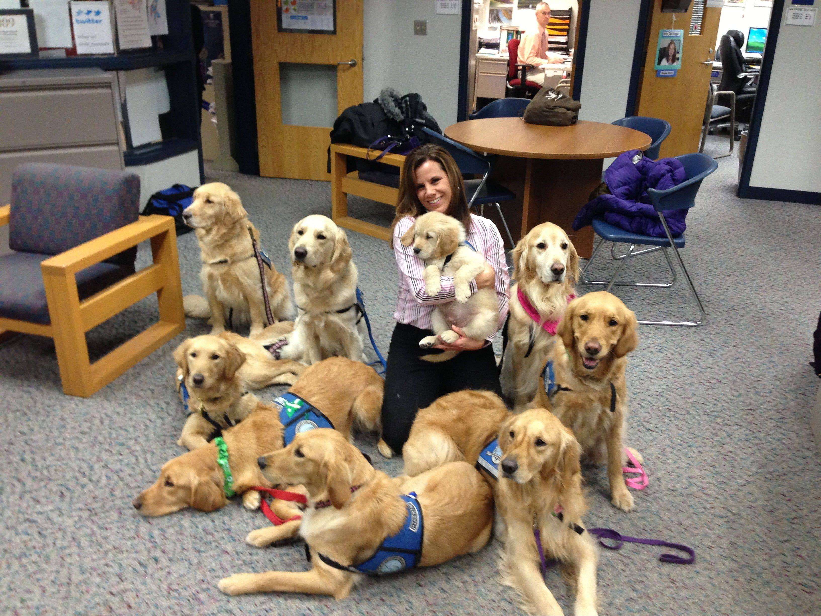 Newtown High School Counselor Deidre Croce holds Isaiah, a 9-week-old puppy in training, while surrounded by other golden retrievers sent by Lutheran Church Charities. The Addison-based group is teaming up with Harper College to train handlers of Comfort Dogs.