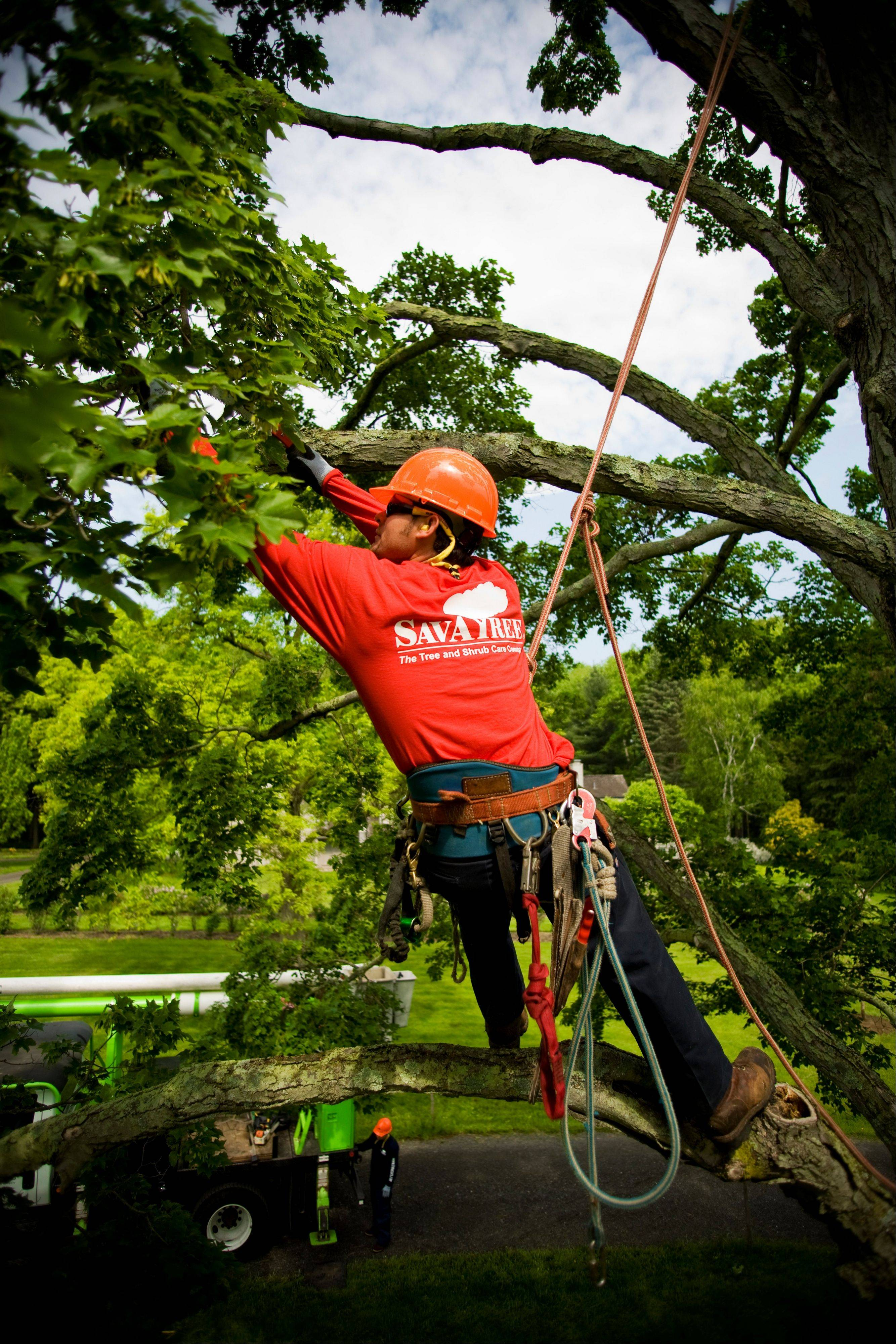 Pruning, along with an arborist using a resistograph to check for tree decay, is used to determine a tree's stability.
