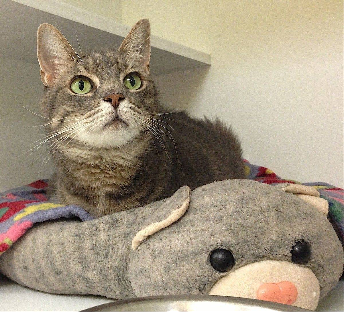 Chachi, a domestic, gray, tabby, is about 8 years old, very sweet and loves people.