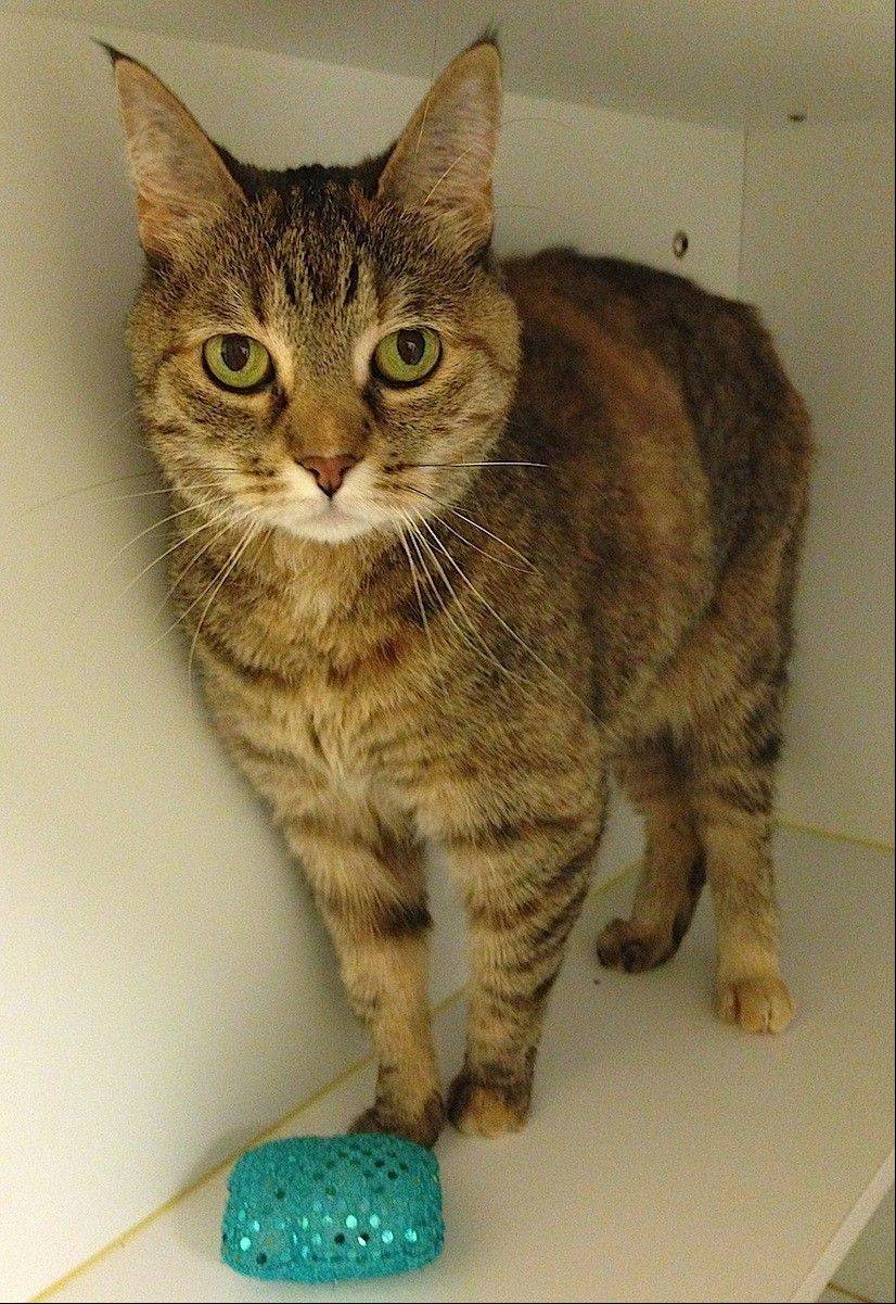 Sutton is a domestic Torbie, who is front-paw declawed. She is a petite 8-year-old, who loves attention.