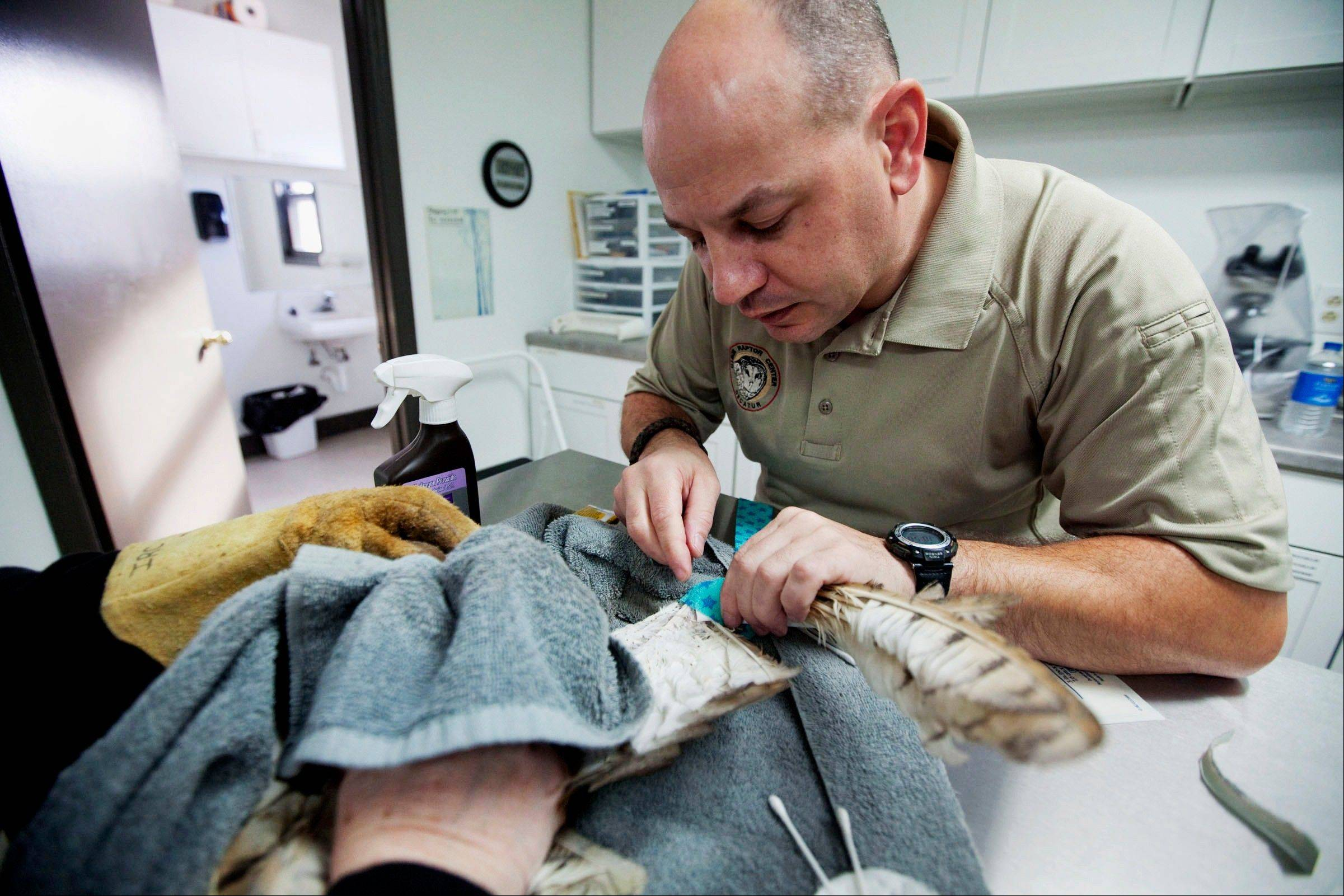 Jacques Nuzzo, the program director at the Illinois Raptor Center in Decatur, wraps the wing of Diablo, a barn owl at the center�s hospital.