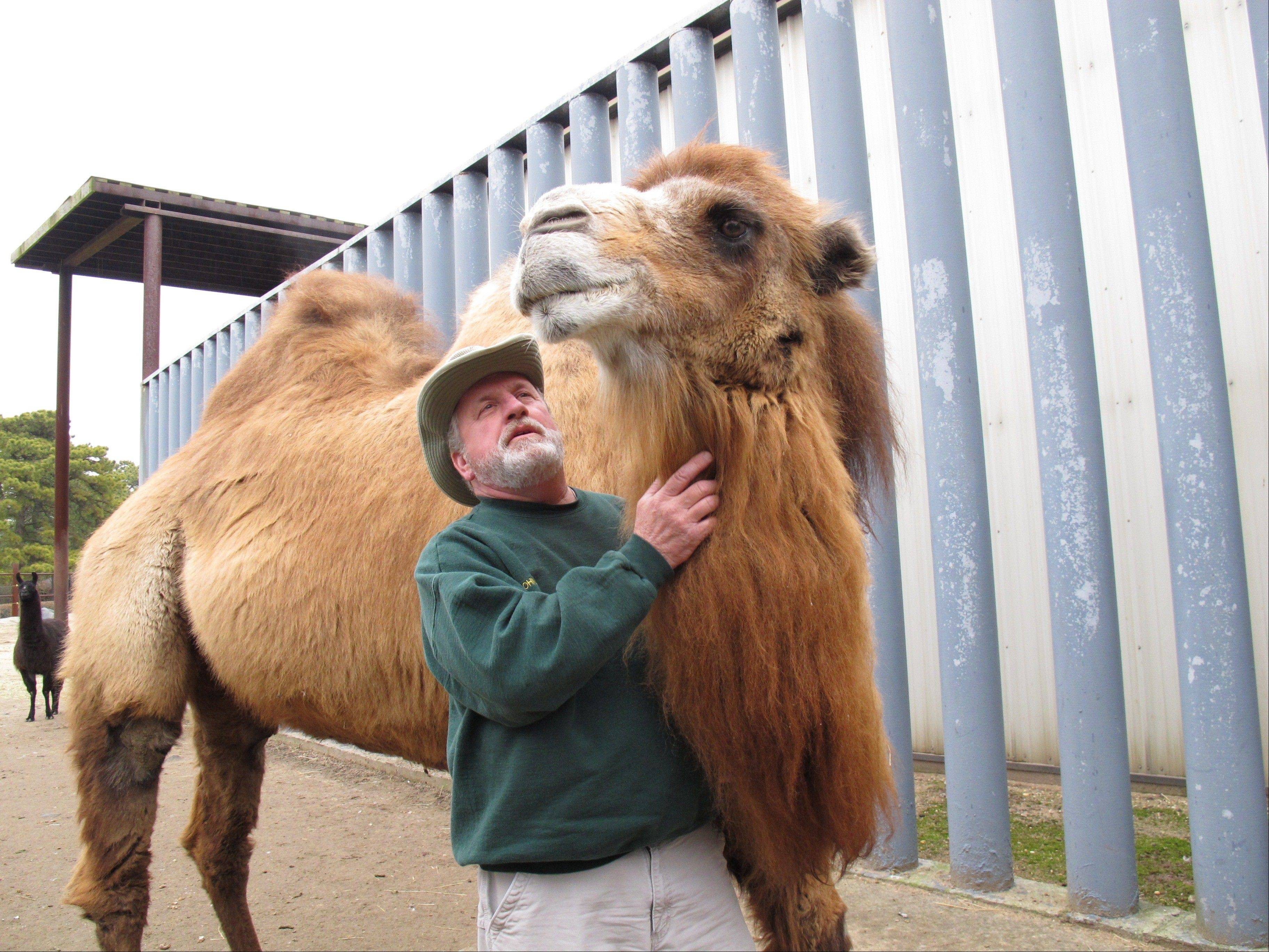 Princess, left, a Bactrian camel famous for her ability to correctly predict the winner of football games, was euthanized Tuesday, Jan. 14, 2014 after arthritis made it impossible for the 26-year-old animal to stand, said Bergmann, just weeks before the state is set to host its first Super Bowl.