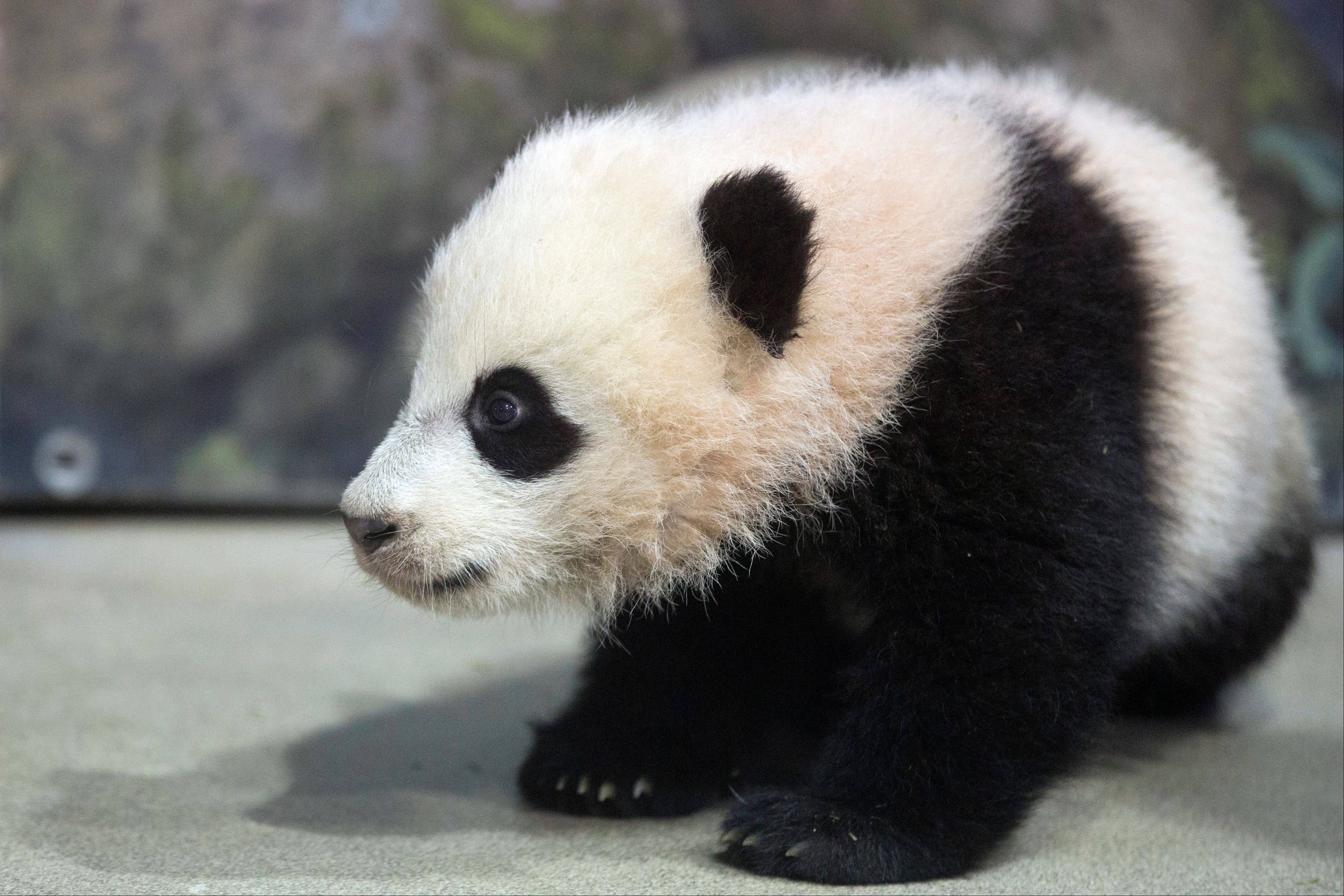Bao Bao, the four and a half month old giant panda cub, sits in her indoor habitat at the Smithsonian's National Zoo in Washington. Saturday was the first chance for the public to see the 5-month-old cub.