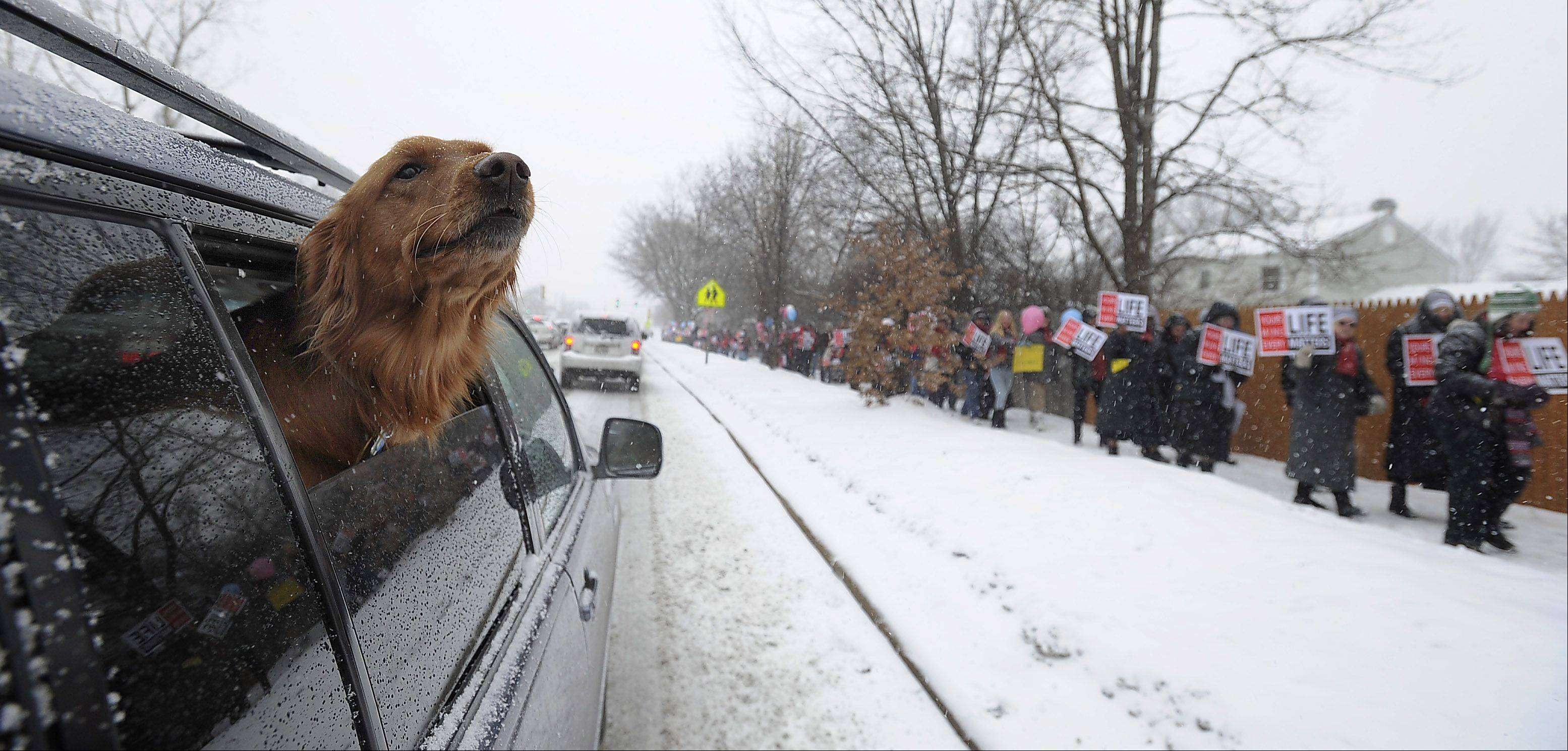 A dogs checks out participants in the 2nd annual NorthWest Families March for Life who marched down Northwest Highway Saturday in Palatine.