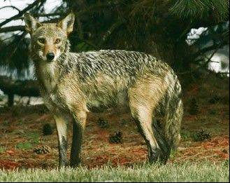 Coyote activity has been detected along the Millennium Trail near Wauconda. This is a file photograph of a coyote spotted elsewhere in Lake County.