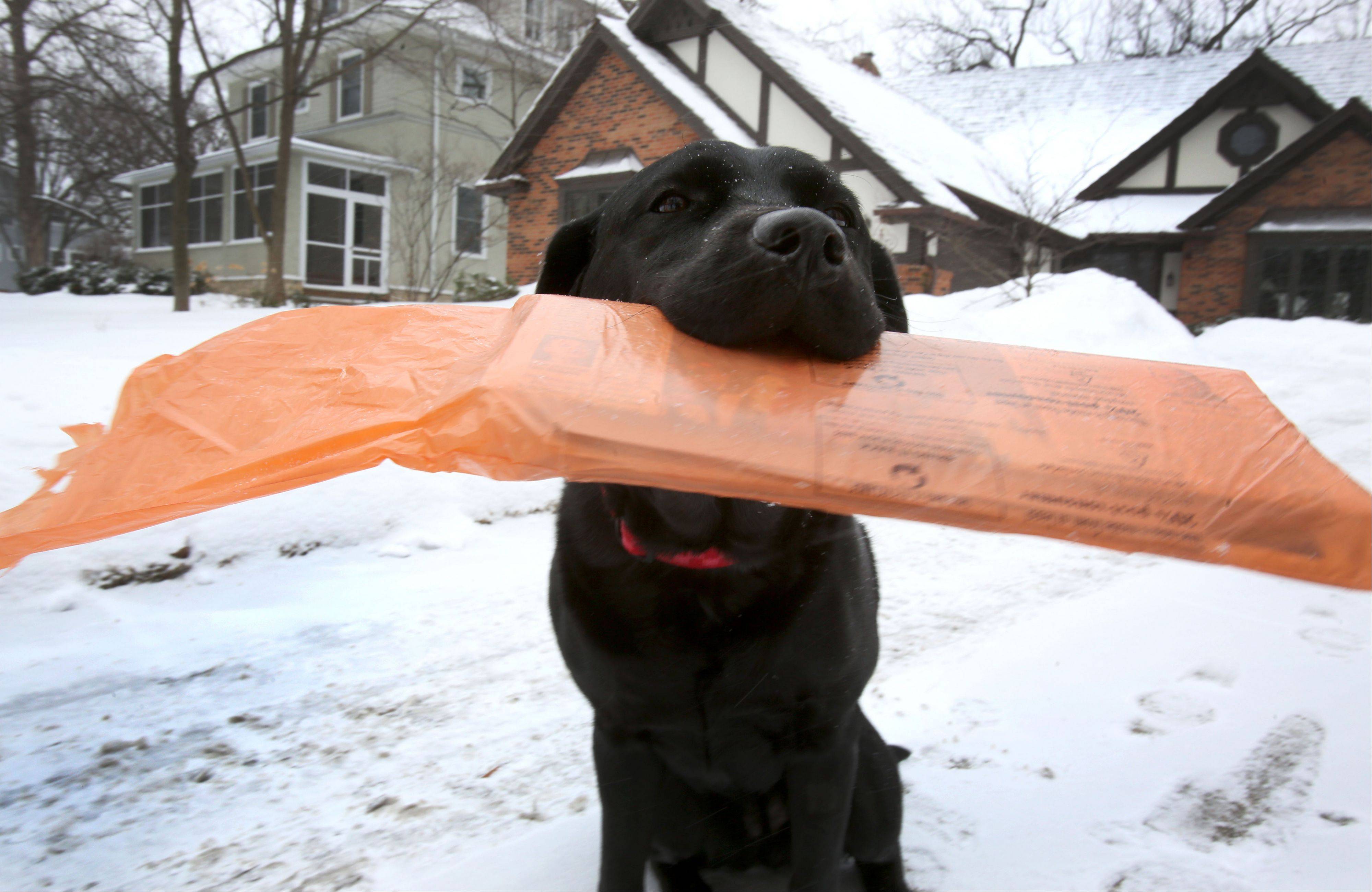 No matter the snow totals or wind chills, Morgan, a 3-year-old black English Labrador, can be counted on to fetch the Daily Herald for the Guse family in Glen Ellyn. Having picked up the job as a puppy, Morgan also delivers the paper to a couple of neighbors.