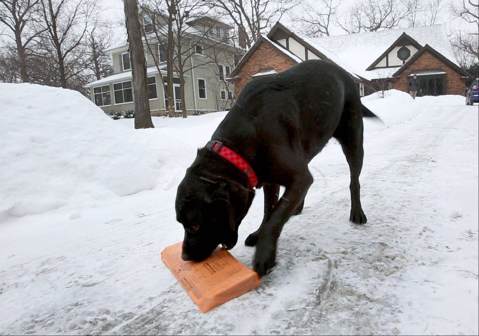 In a world where it can be tough to find a service you can count on in this snow and cold, Morgan loves to fetch the newspaper at the Guse household in Glen Ellyn. The dependable dog also brings a smile to neighbors by delivering their papers as well.