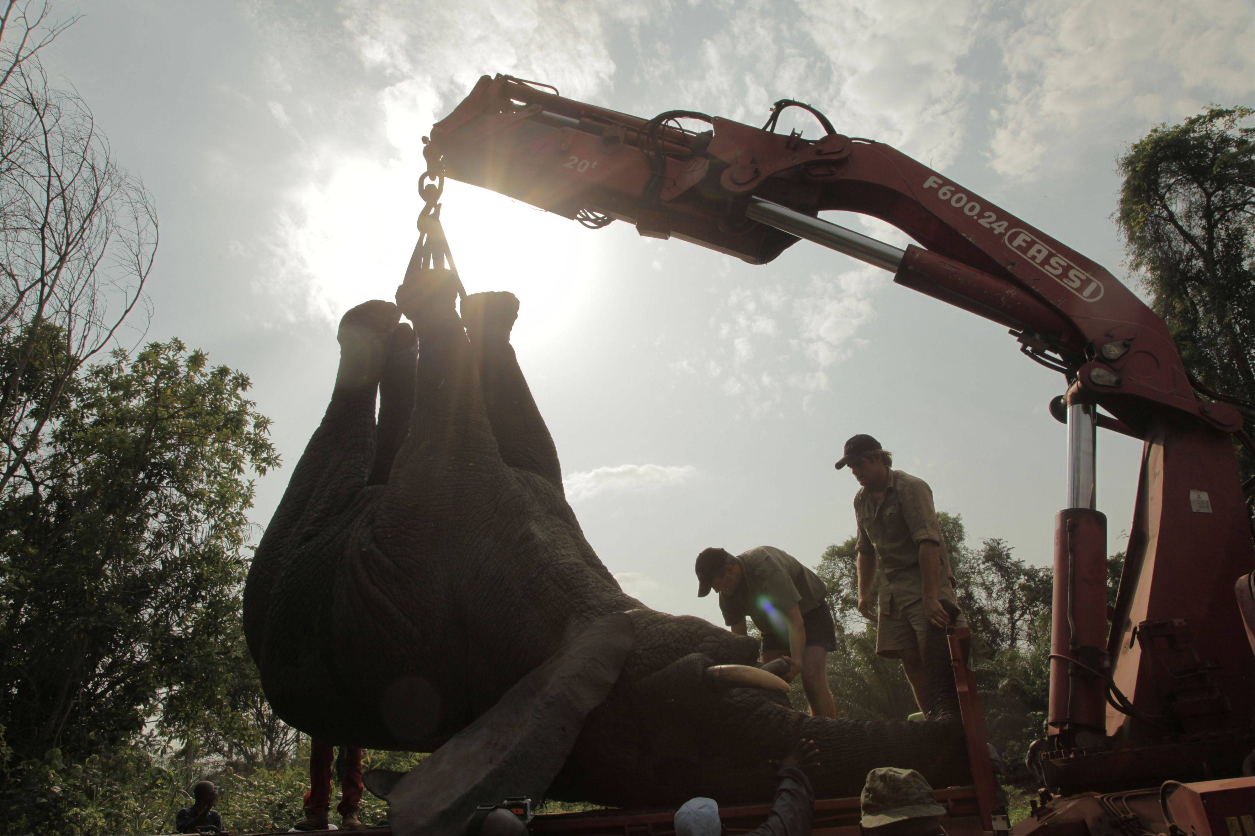 A tranquilized elephant is loaded on a truck near the town of Daloa in western Ivory Coast. Conservationists are capturing and relocating elephants in Ivory Coast forced out of their traditional habitat by encroaching humans, in the first such operation attempted in Africa's forests.