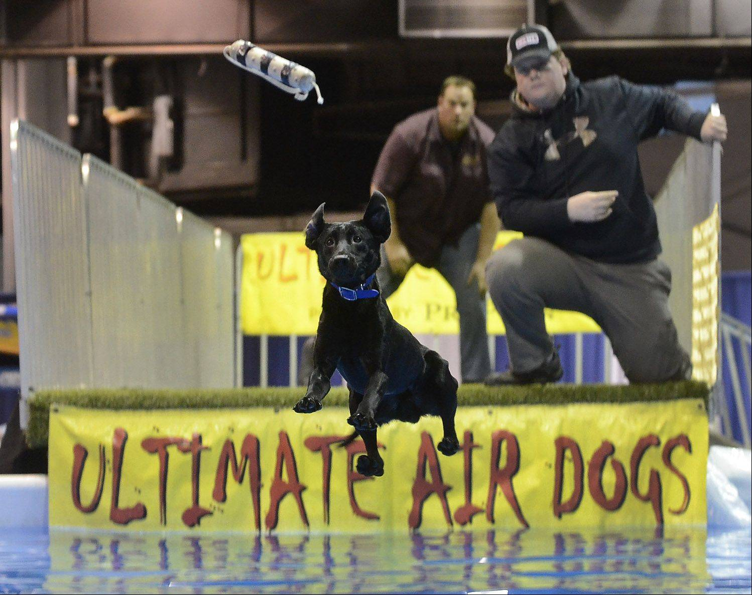 Ice, a black lab, goes airborne as part of an exhibition Friday by Ultimate Air Dogs at the 28th Annual Chicago Outdoor Sports Show at the Donald E. Stephens Convention Center in Rosemont. Ice's owner, Brian Butler, is on the right.