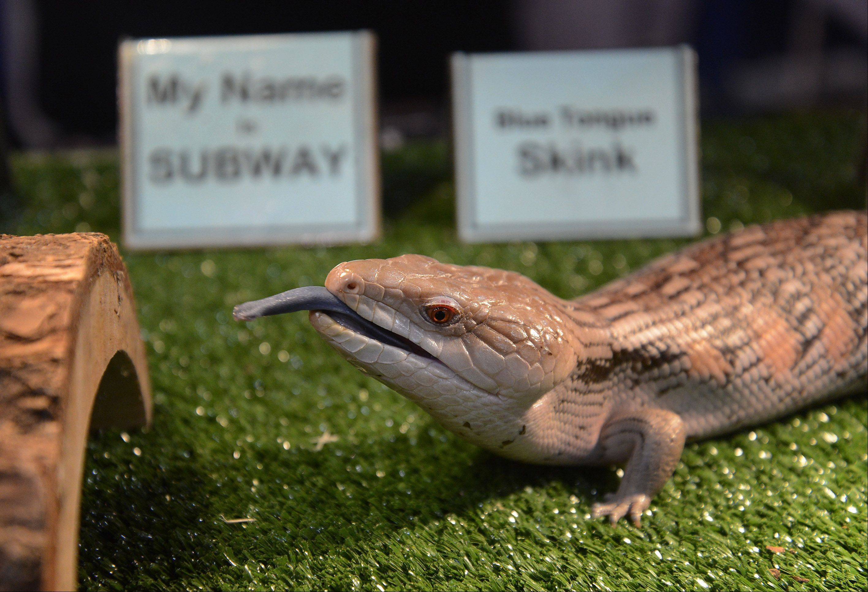 Subway, a Blue Tongue Skink, sticks out his blue tongue, Friday at the 28th Annual Chicago Outdoor Sports Show at the Donald E. Stephens Convention Center in Rosemont. Subway is part of an exhibit by the Chicago Herpetological Society.