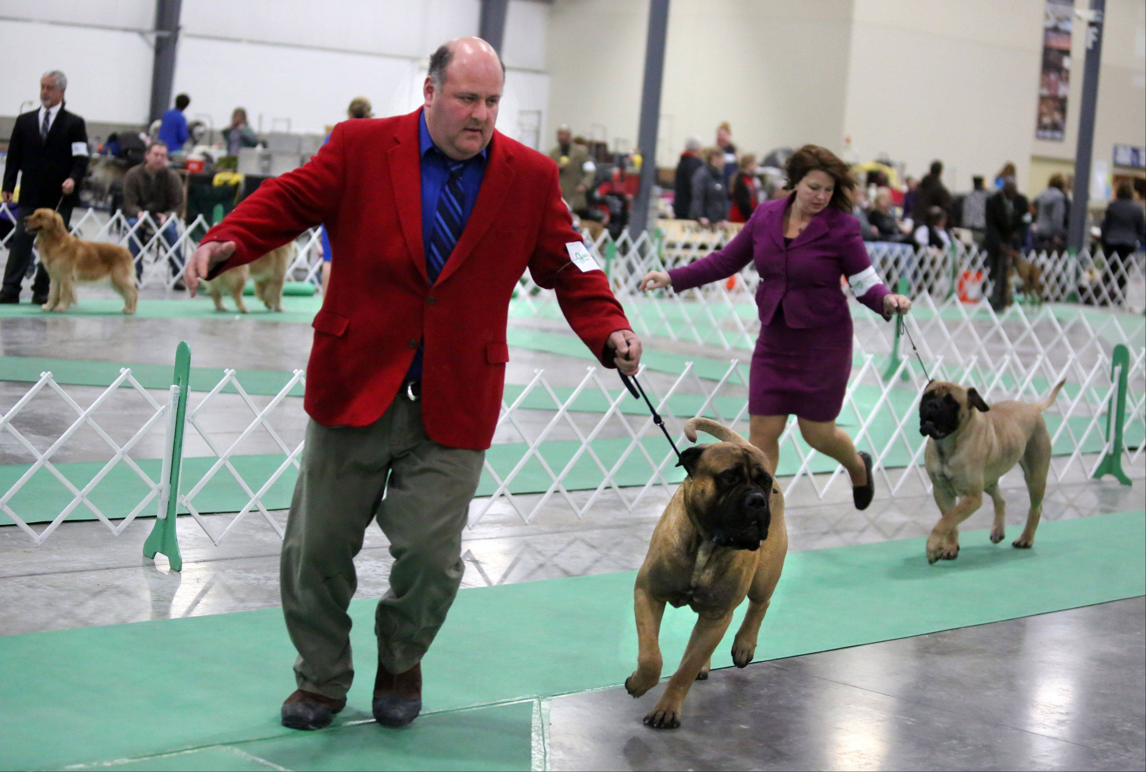 Handler Howard Gussis, a Grayslake native who recently moved to Wisconsin, shows Rugie, a bullmastif owned by Chris Davenport of Wildwood, at the Chain O� Lakes Kennel Club dog show on Sunday at the Lake County Fairgrounds in Grayslake. The show was part of a three-day event that drew more than 1,440 dogs representing 120 breeds.