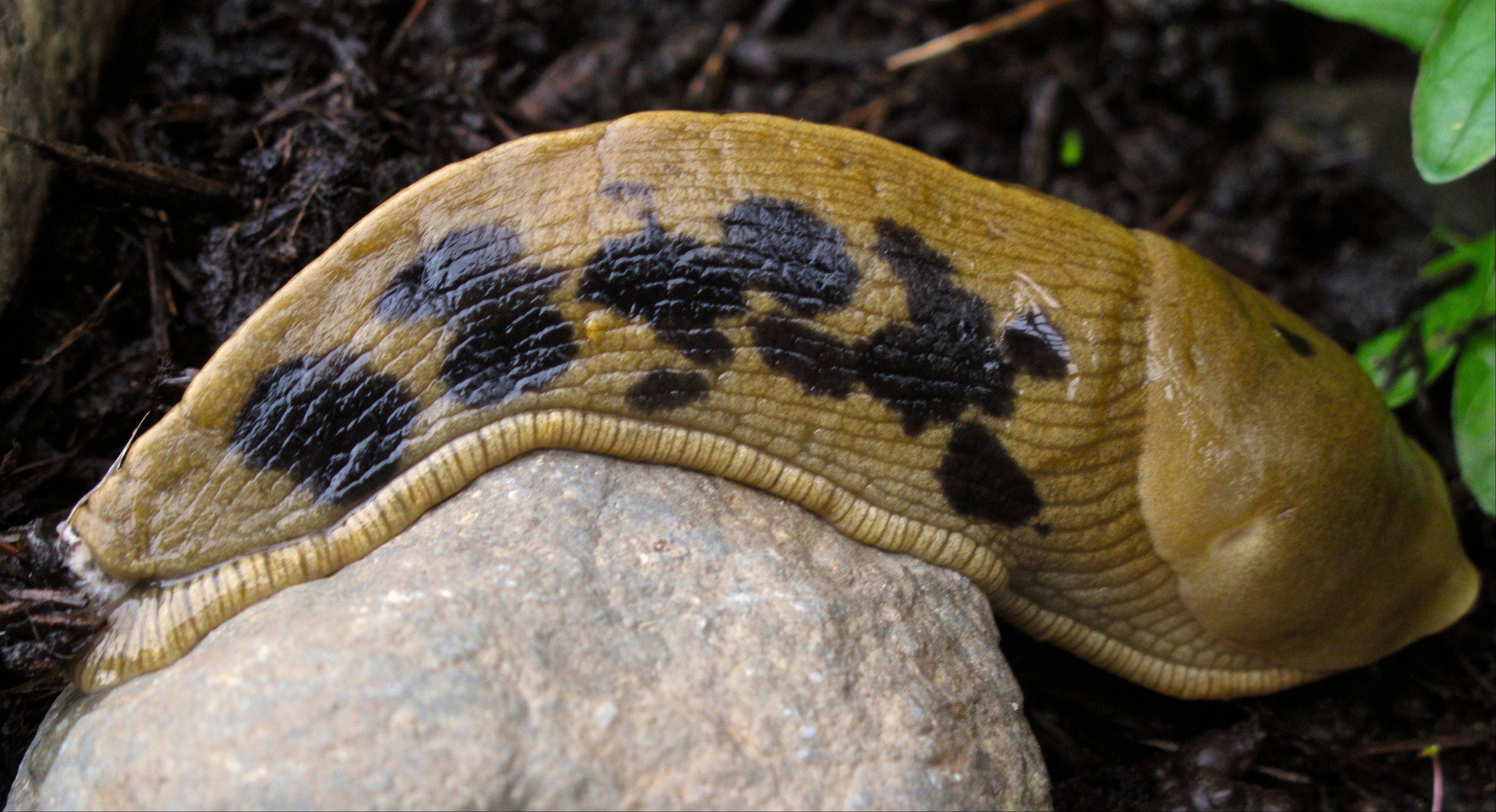 Slugs are ravenous plant eaters that leave behind slimy trails of destruction. Remove any debris that gives them a place to hide during the day, to prevent their pattern of coming out to feed at night.