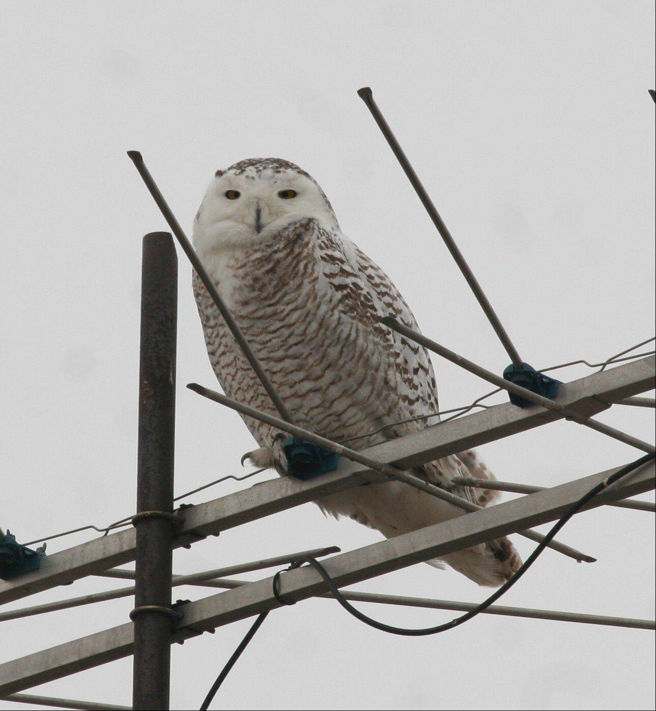 It's not unheard of for the suburbs to get a winter visit from an arctic snowy owl, says Bob Andrini, president of Kane County Audubon, who took this photograph in 2011. But the majestic white owls have been spotted here in record numbers this year.