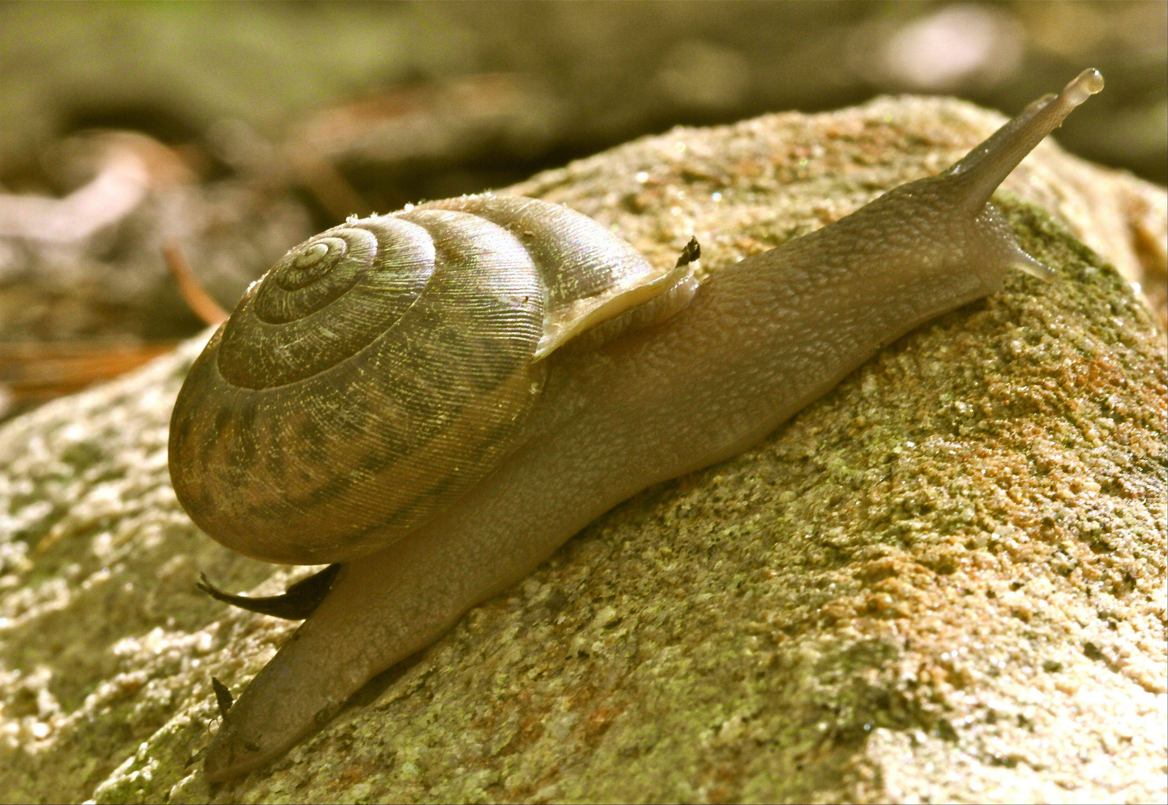 Snails are more adapted to dry climates than slugs, because of their ability to find relief from the heat by withdrawing into their shells. Making your yard less hospitable to destructive snails and slugs is generally more effective than using chemicals.
