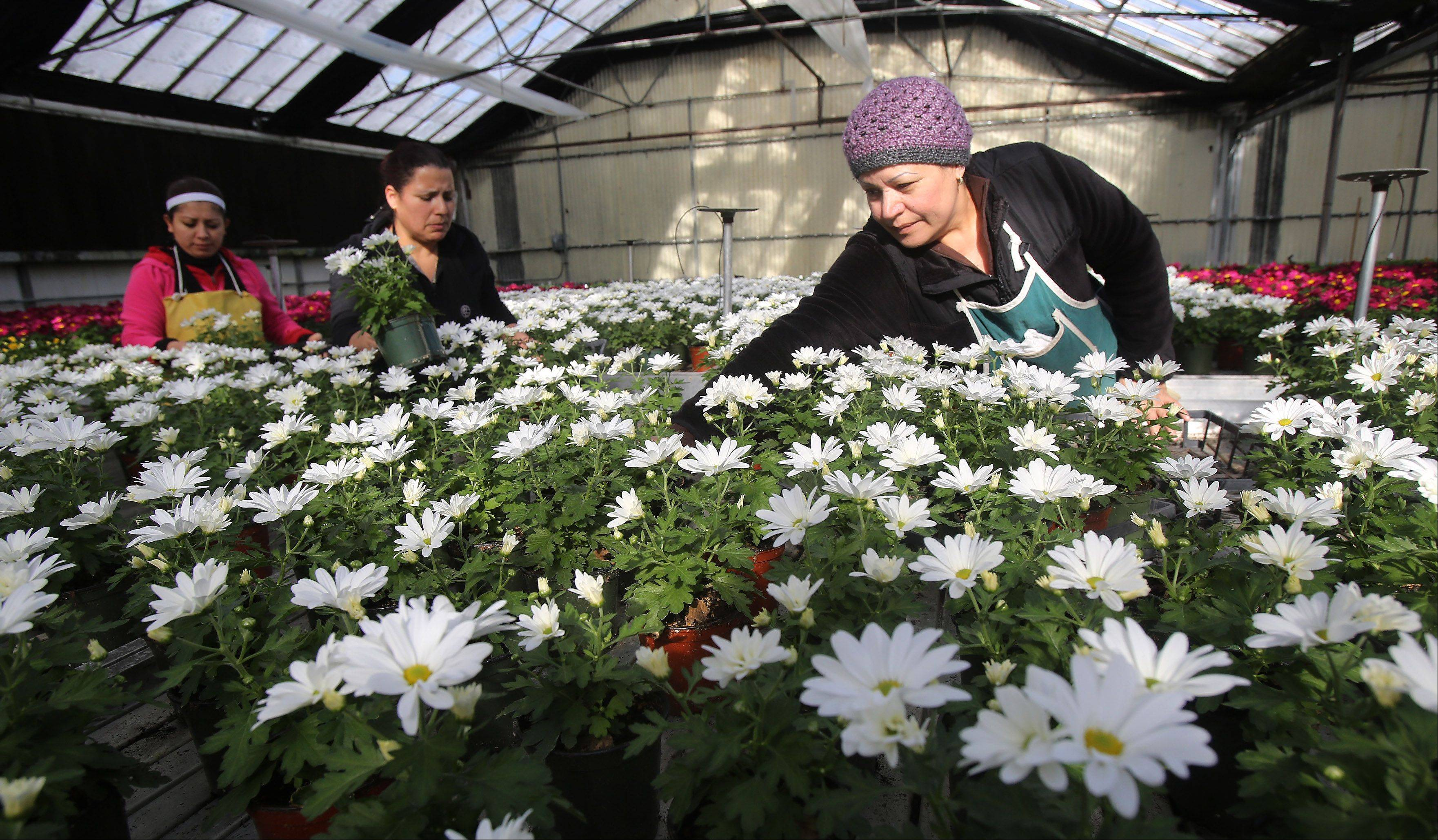Rosario Telatorre, from right, Berta Telatorre and Veronica Gonzalez work on the mums at Leider Greenhouses and Garden Center in Buffalo Grove on Tuesday.