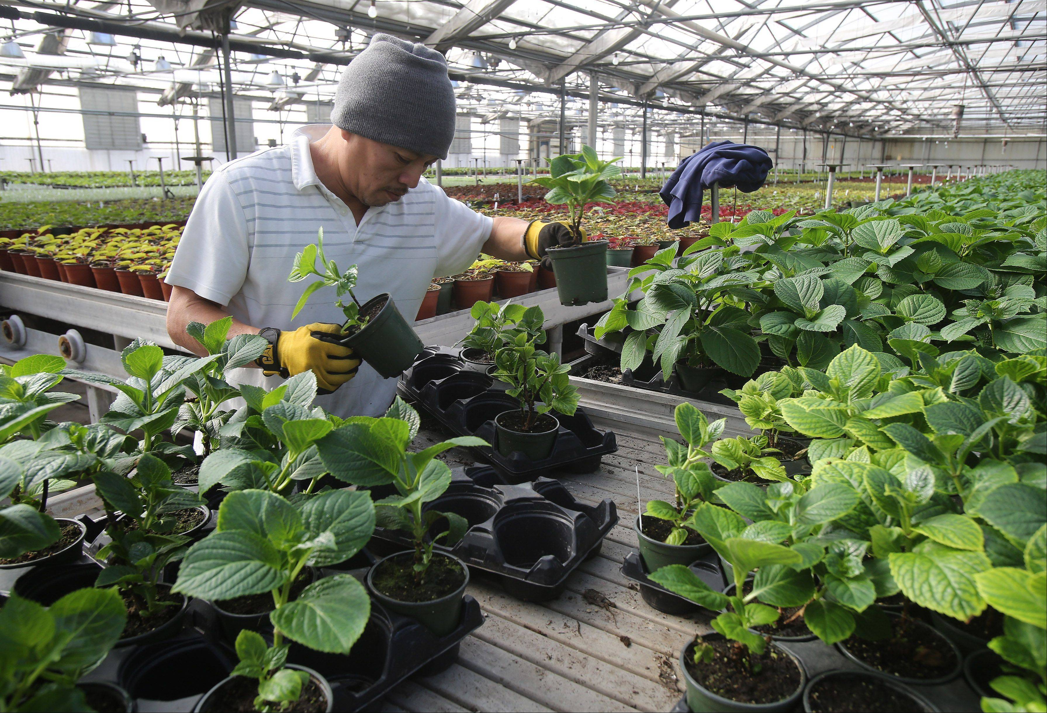Santos Aonorato moves hydrangea at Leider Greenhouses and Garden Center in Buffalo Grove on Tuesday.