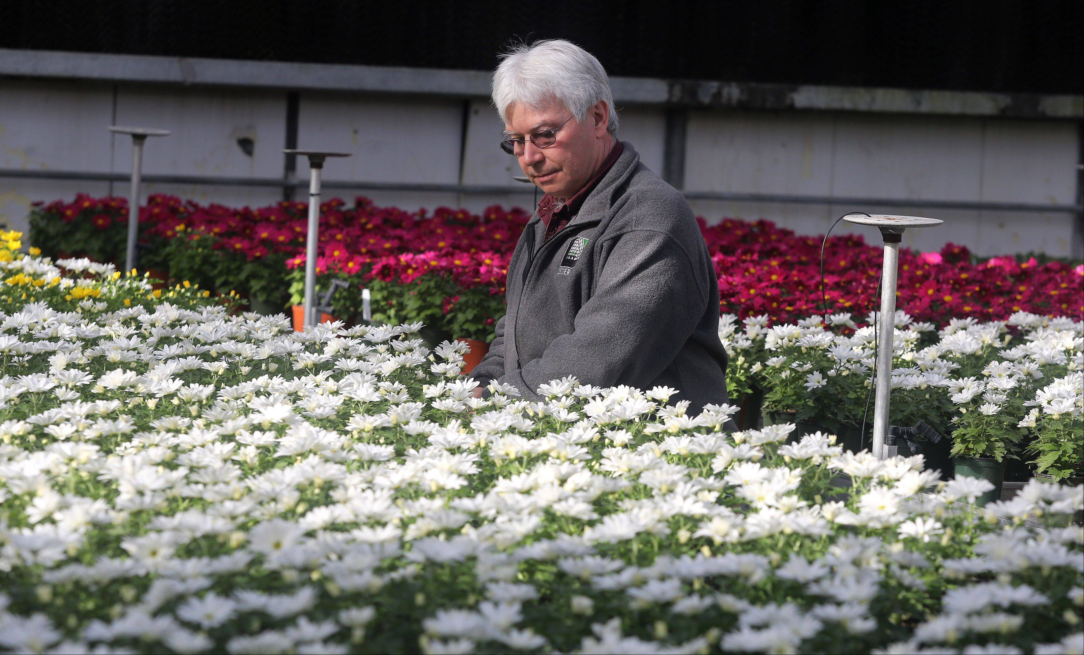 Operations manager Jim Jaeger checks on mums Tuesday at Leider Greenhouse and Garden Center in Buffalo Grove.