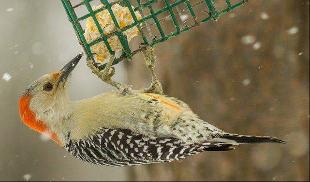 This is a heck of a way to eat your dinner in a snowstorm. This Red-breasted Woodpecker was at our feeder during one of the last snow storms.