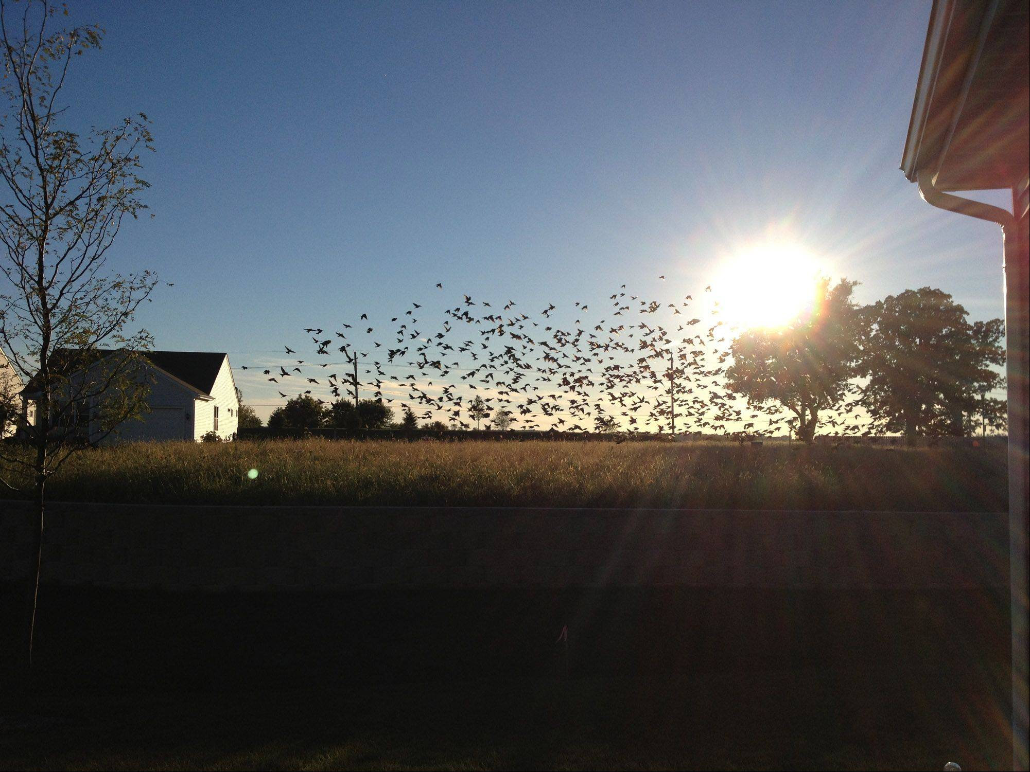 This photo was taken in September of 2013 from my back patio door in our newly constructed home in Pingree Grove. The birds taking flight against the sunset back ground created a great photo op.