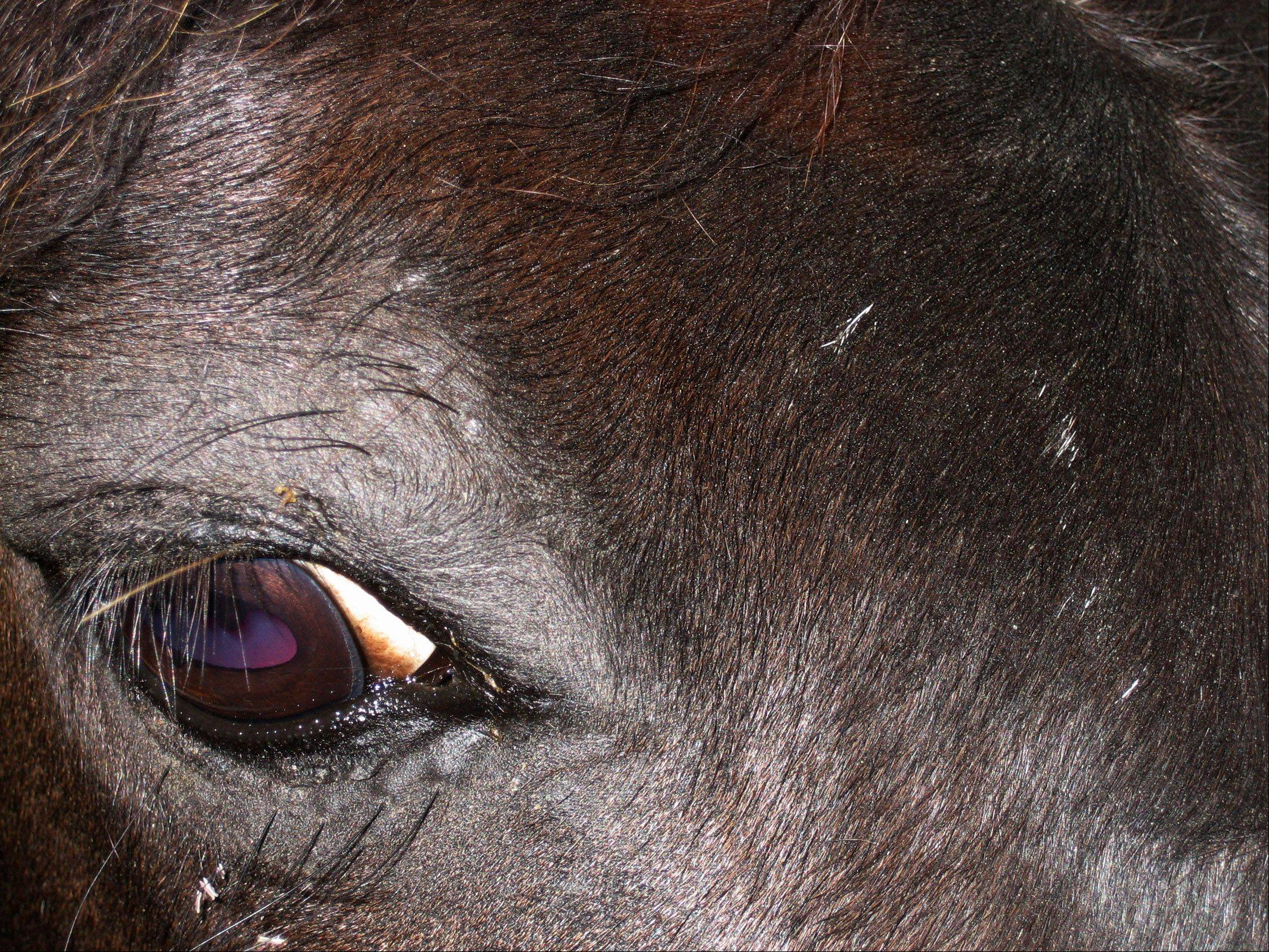 A black horse with a beautiful violet colored eye at Bay Roberts in Newfoundland, Canada in 2009.