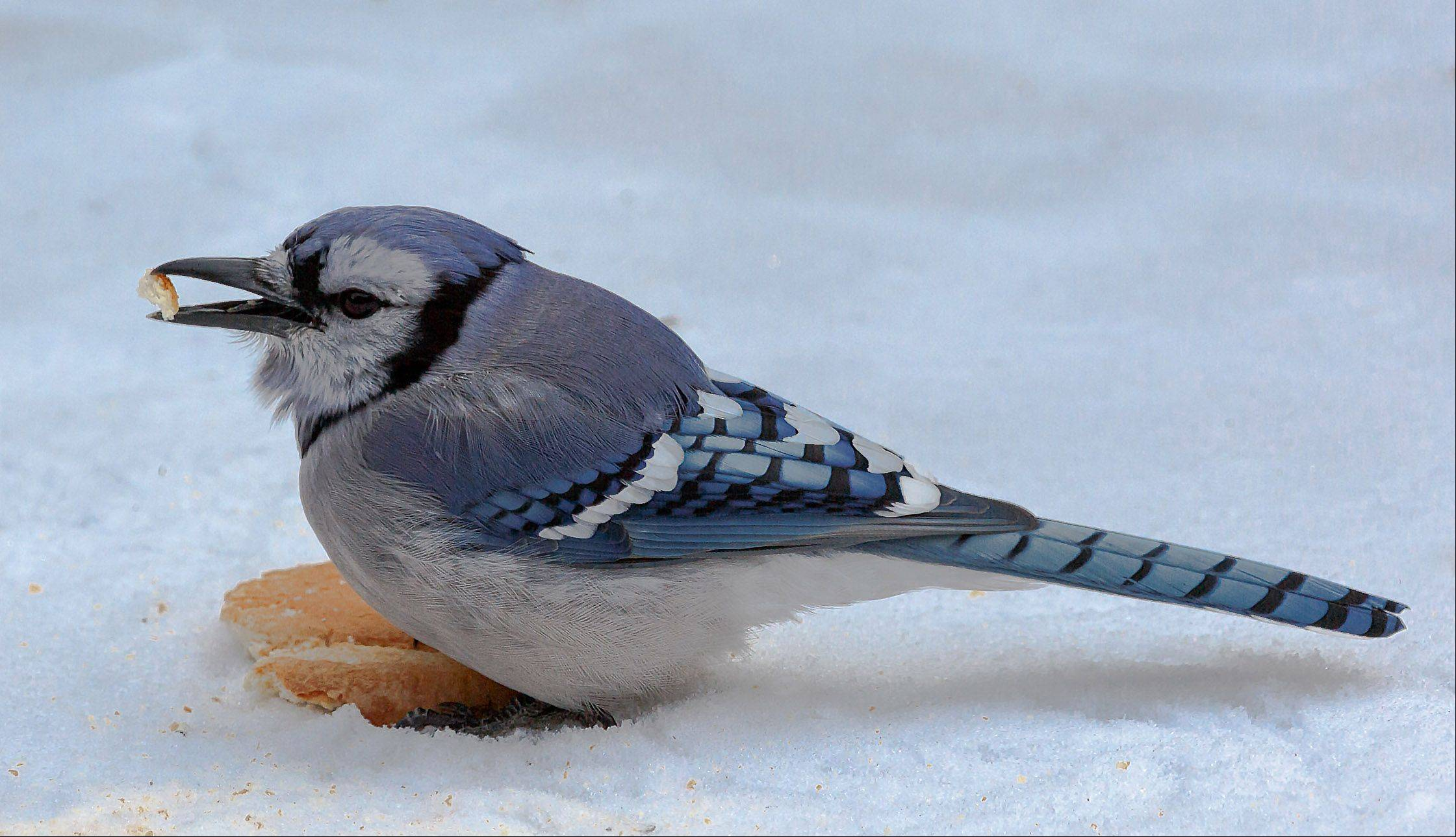 A blue jay with a piece of bread in his beak at an Ingleside backyard on January 7th.