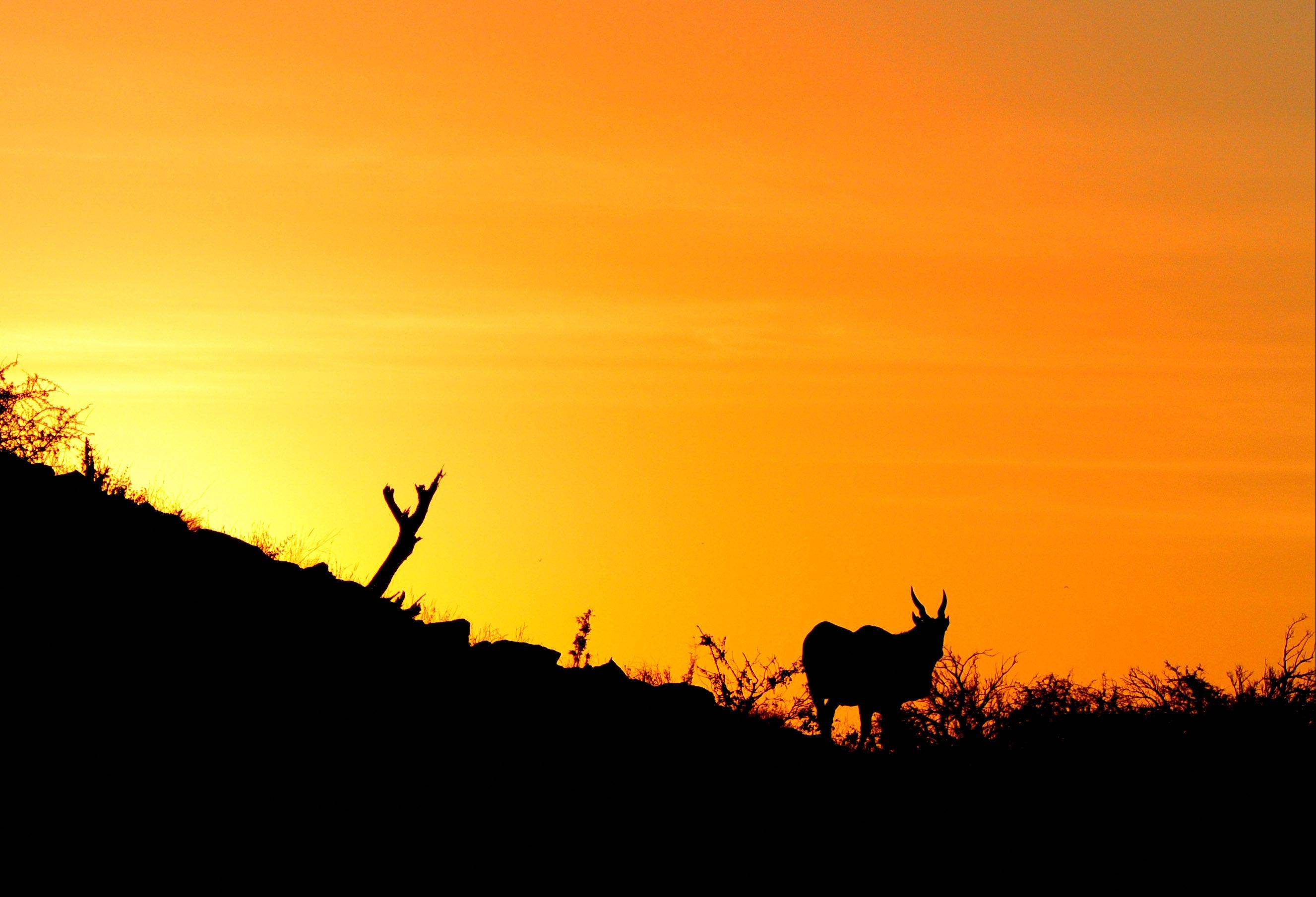 An eland stands on a hill during dusk last June in Botswana.
