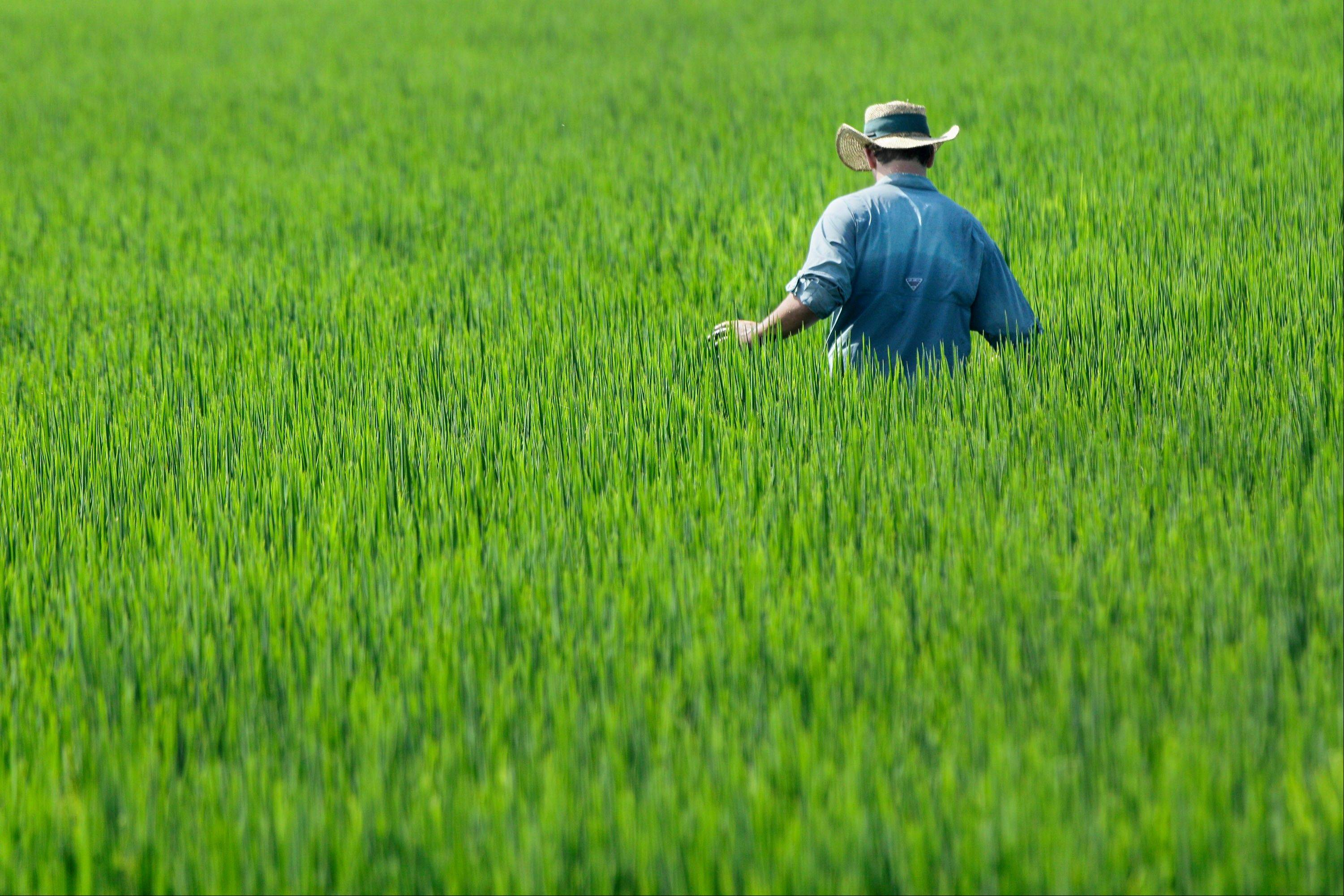 Farmer Ben Burgess examines a rice field near Coy, Ark.