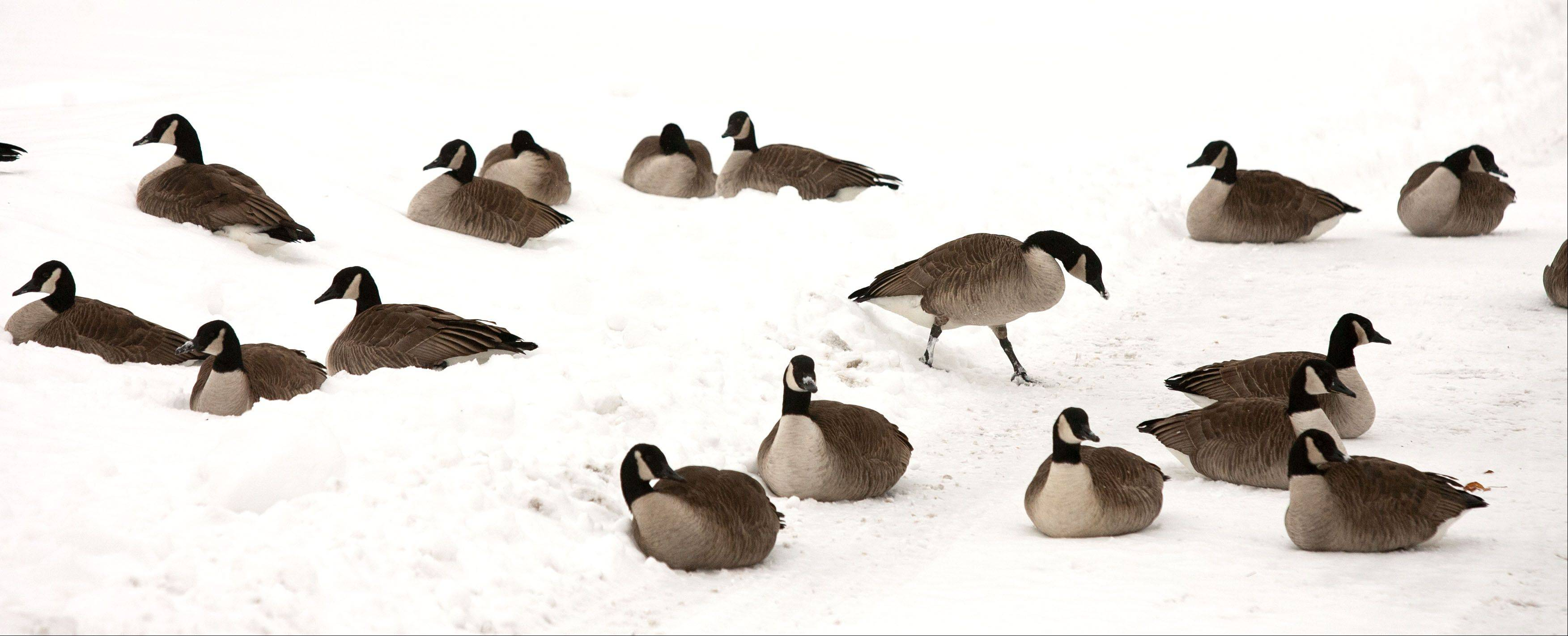 Canada geese relax in Lisle, as another round of snow makes its way through the suburbs.